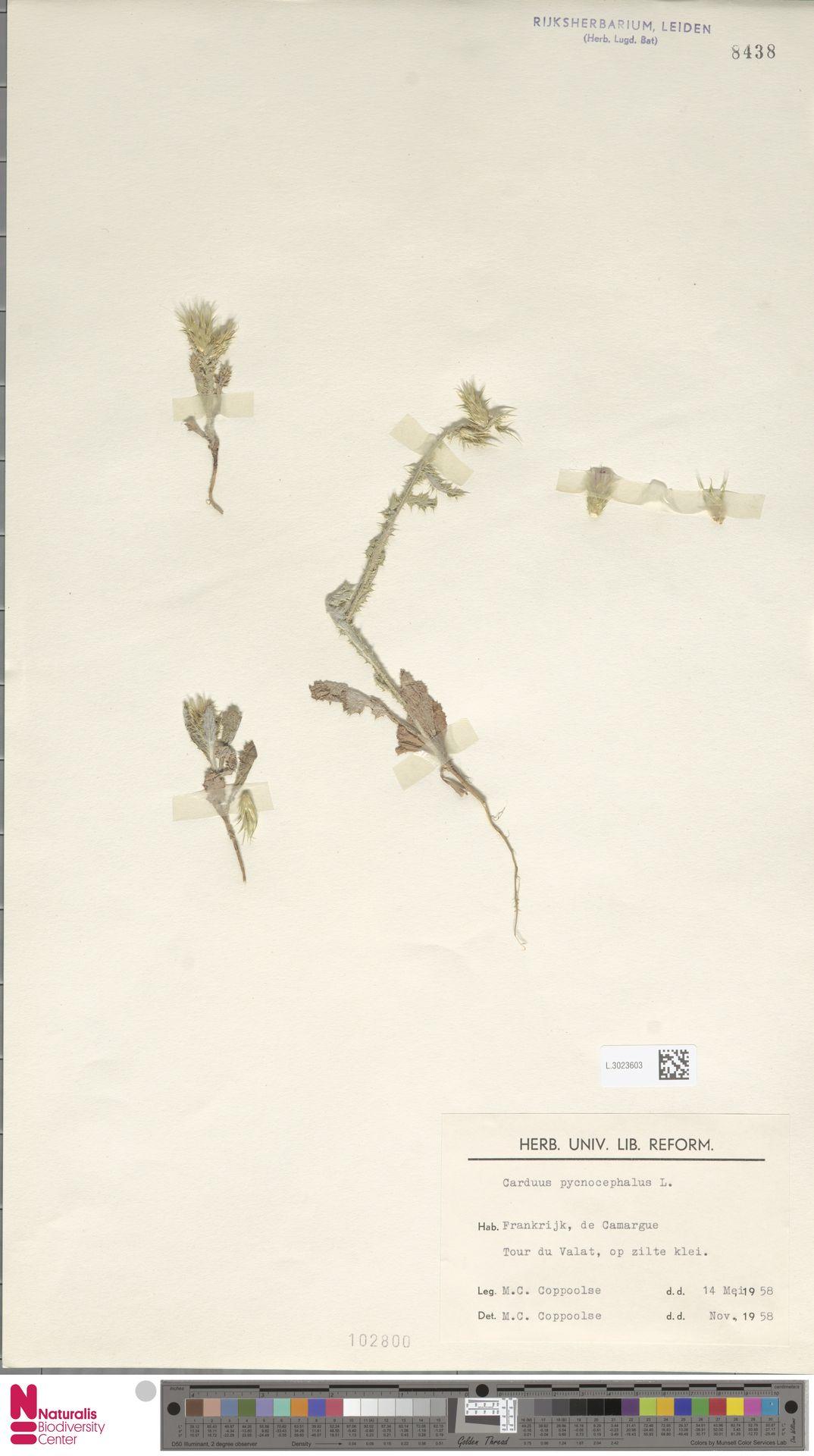 L.3023603 | Carduus pycnocephalus L.