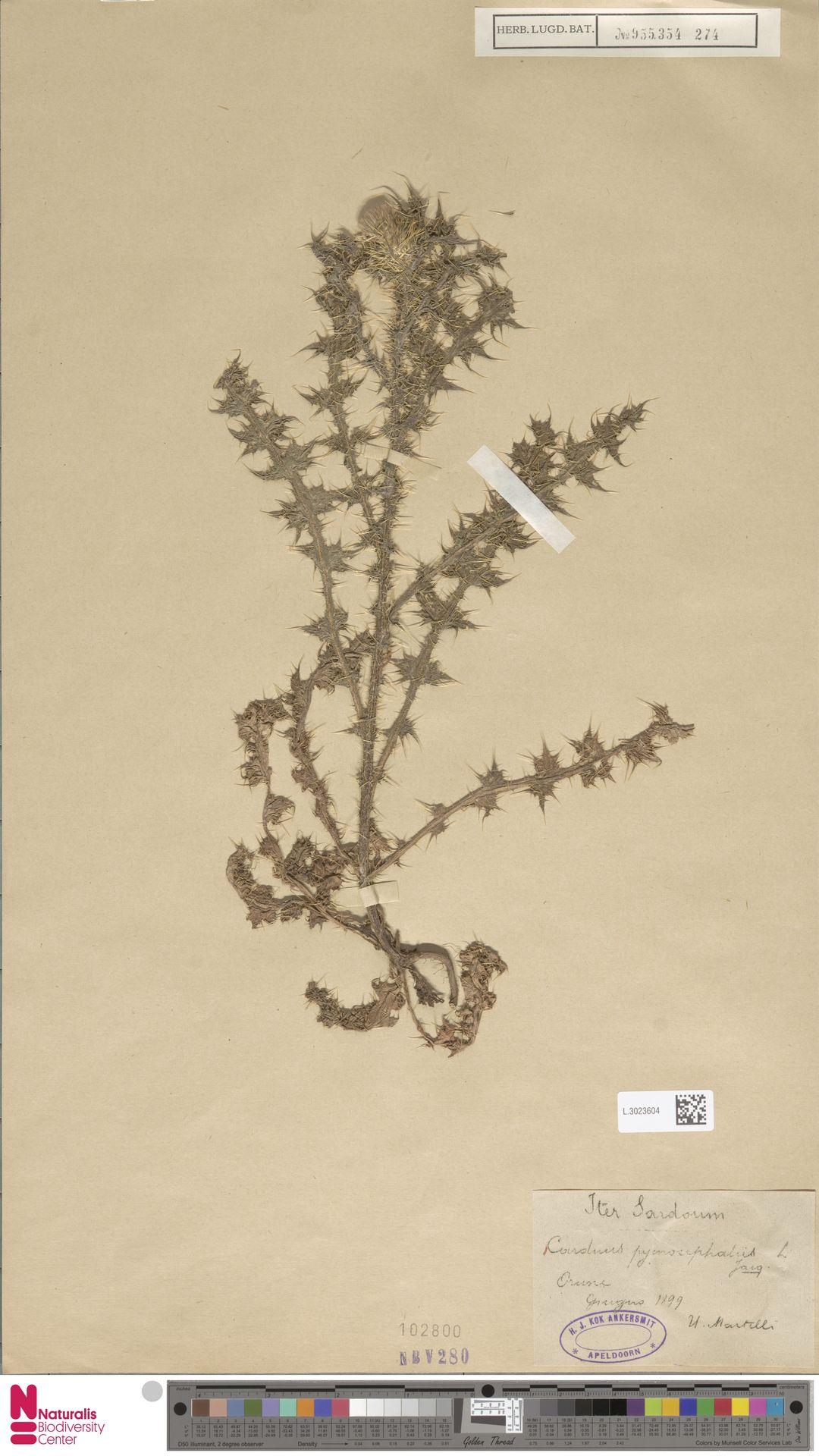 L.3023604 | Carduus pycnocephalus L.