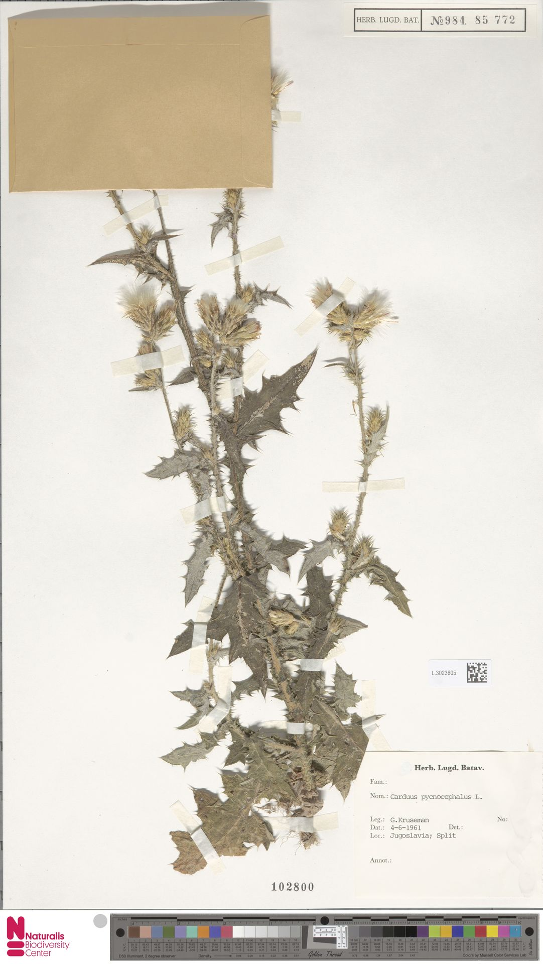 L.3023605   Carduus pycnocephalus L.