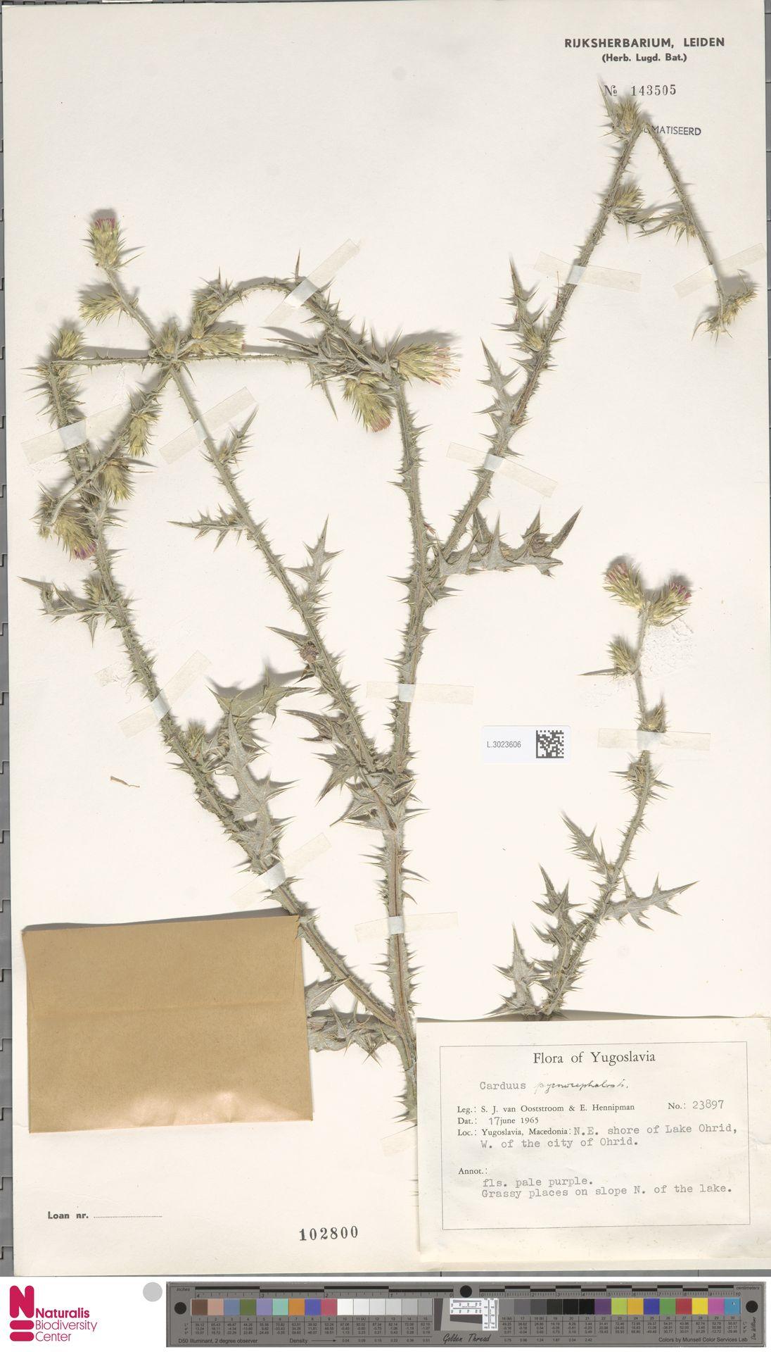 L.3023606 | Carduus pycnocephalus L.