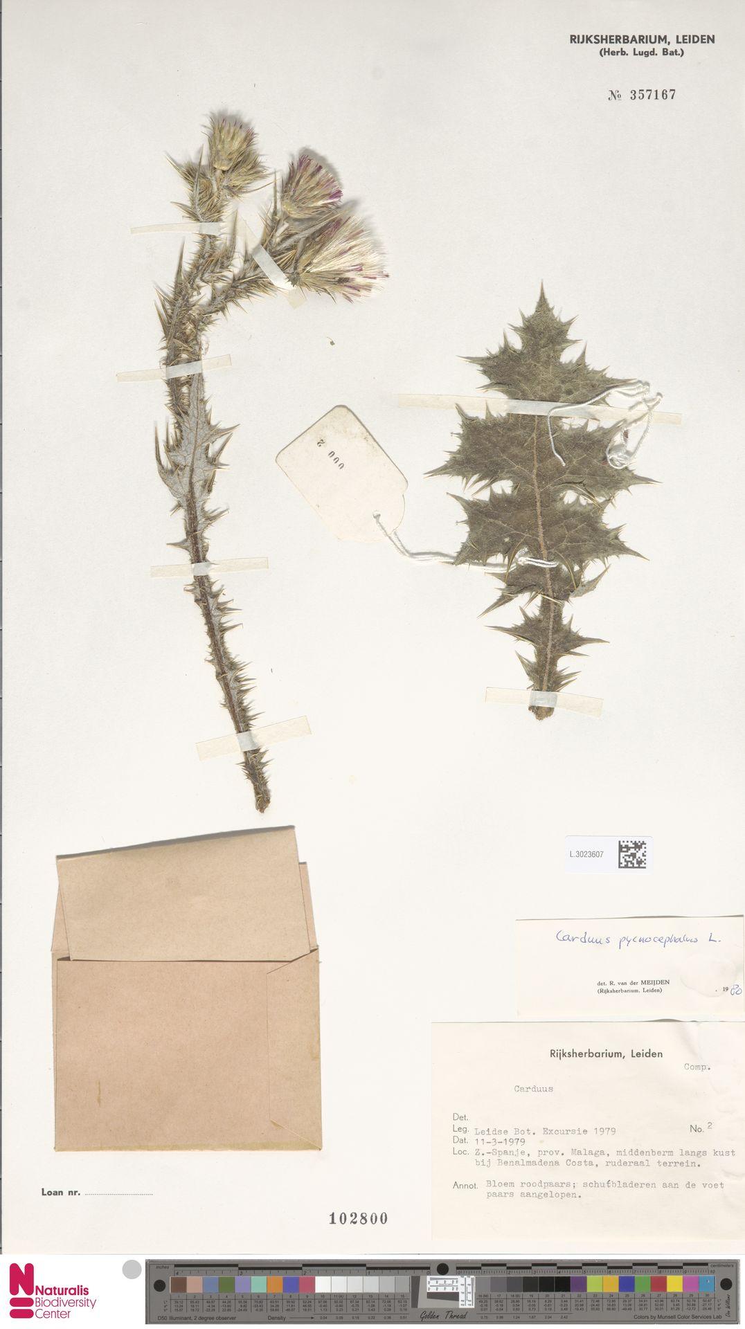 L.3023607 | Carduus pycnocephalus L.
