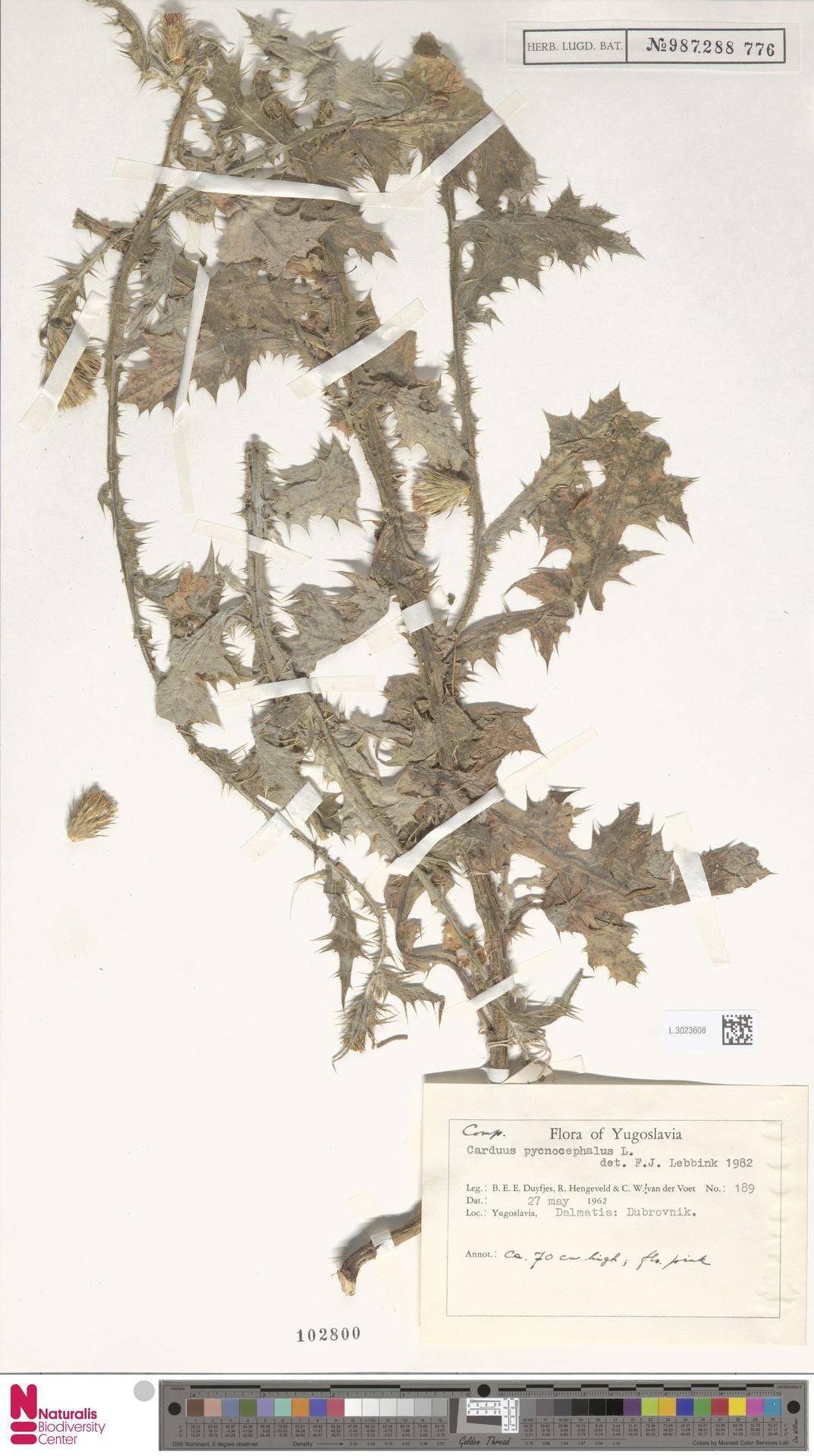 L.3023608 | Carduus pycnocephalus L.