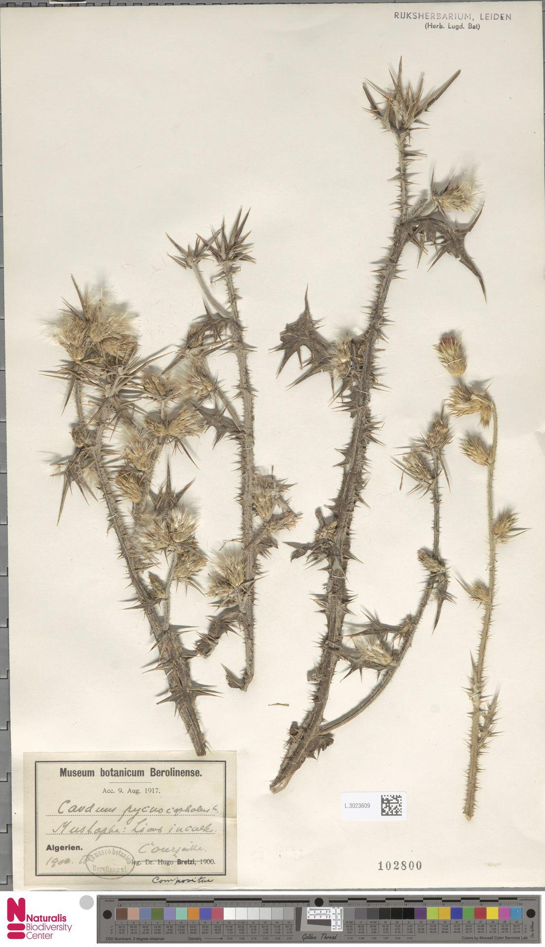 L.3023609 | Carduus pycnocephalus L.
