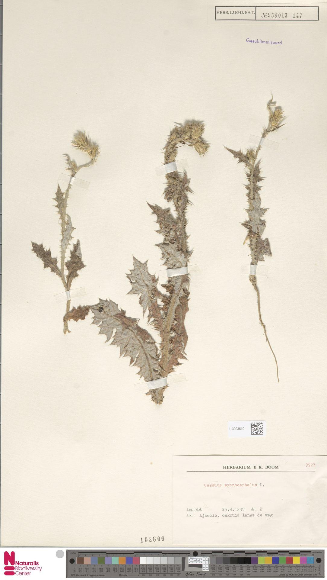 L.3023610 | Carduus pycnocephalus L.