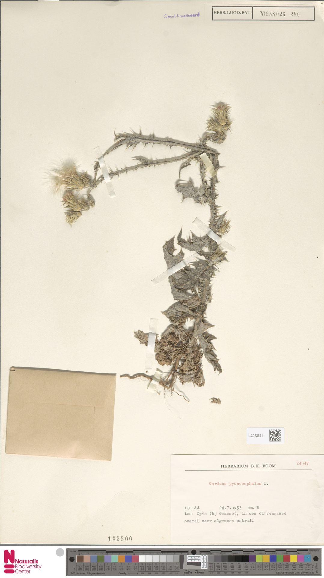 L.3023611 | Carduus pycnocephalus L.