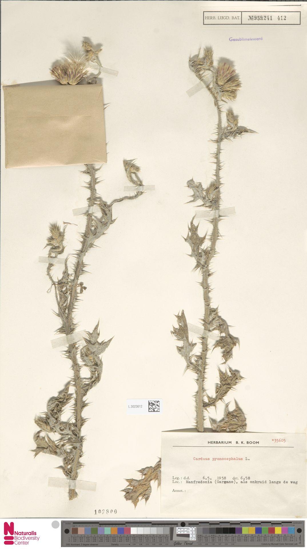 L.3023612 | Carduus pycnocephalus L.