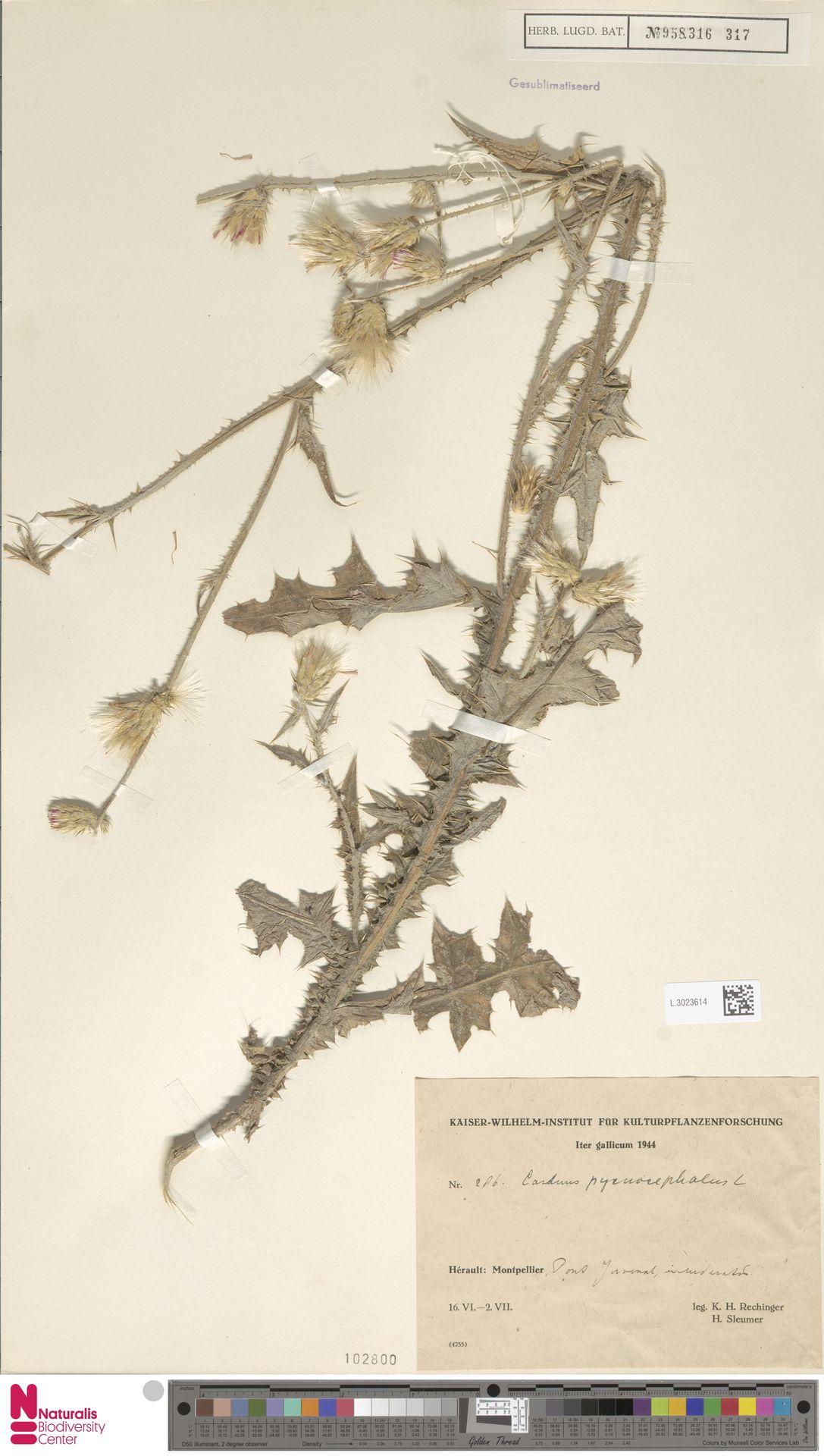 L.3023614 | Carduus pycnocephalus L.