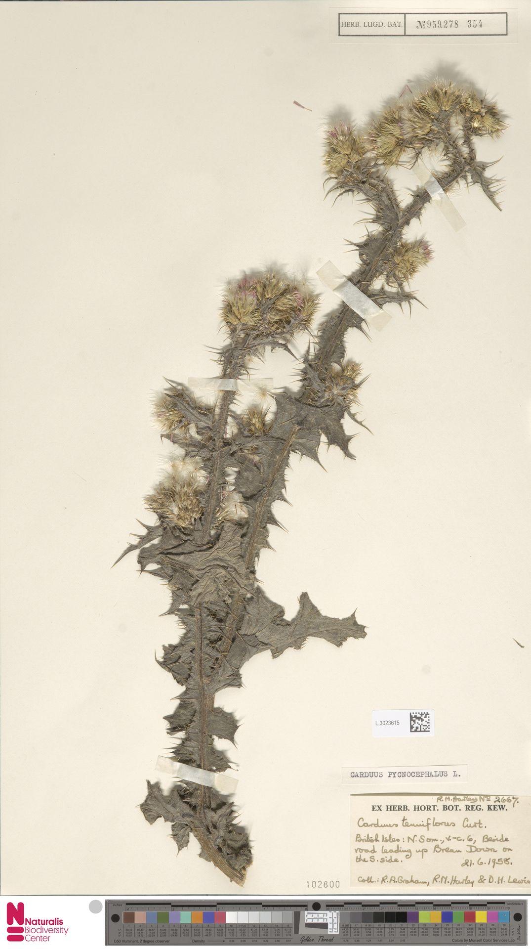 L.3023615 | Carduus pycnocephalus L.