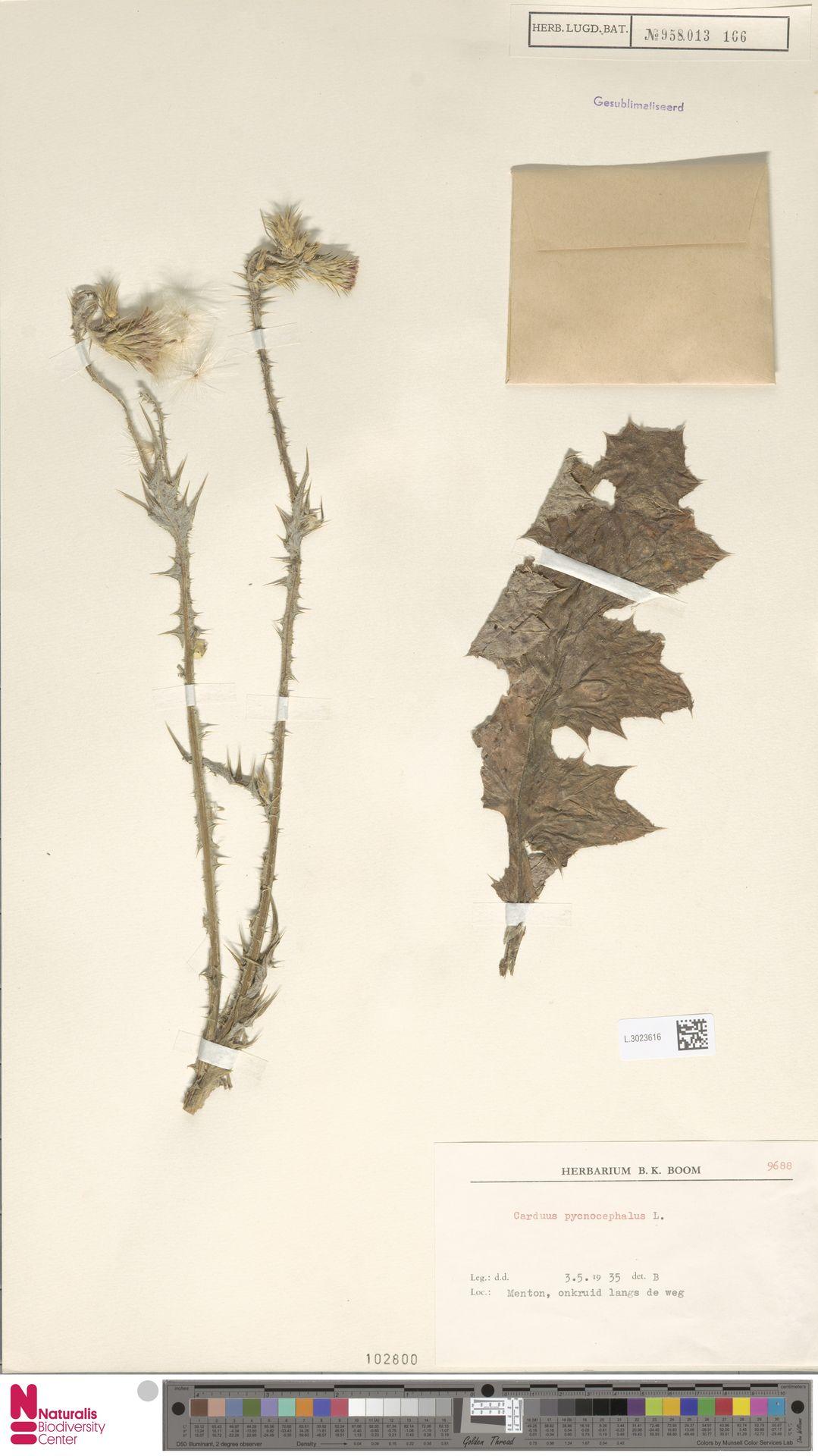 L.3023616 | Carduus pycnocephalus L.