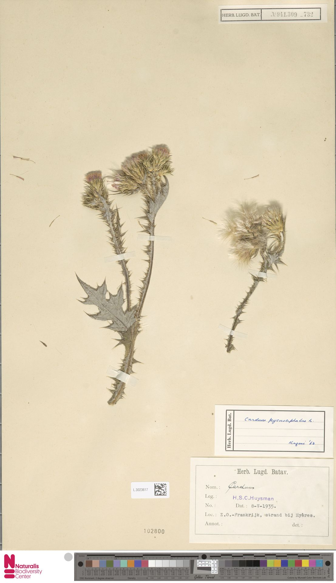 L.3023617 | Carduus pycnocephalus L.