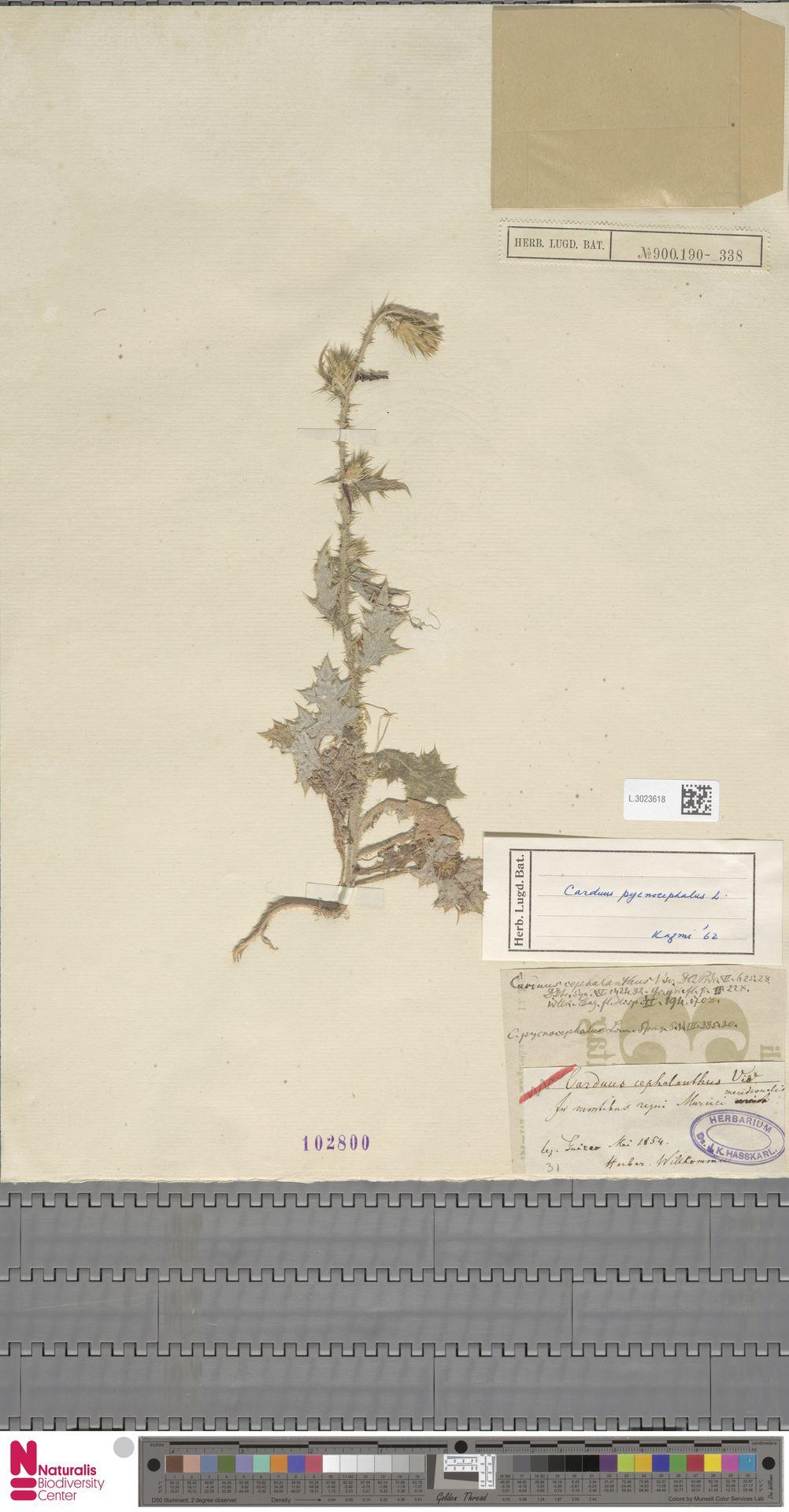 L.3023618 | Carduus pycnocephalus L.