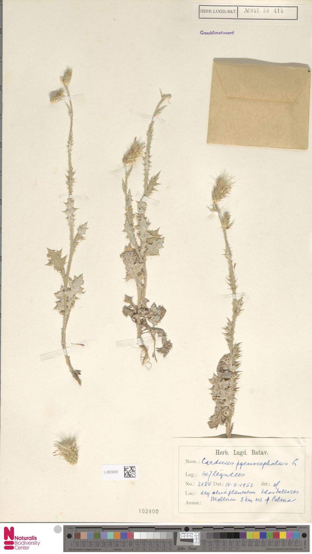 L.3023620 | Carduus pycnocephalus L.
