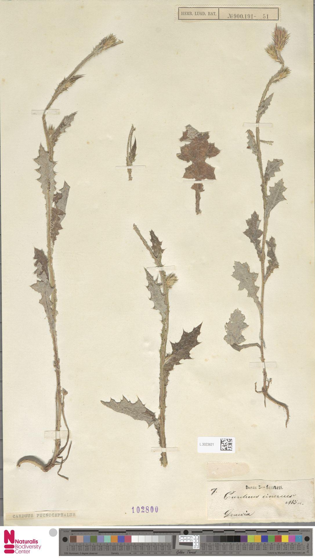 L.3023621 | Carduus pycnocephalus L.