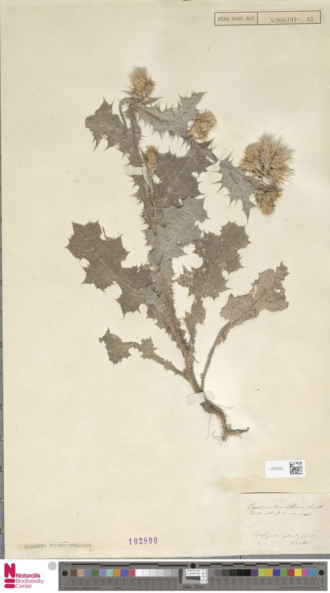 L.3023622 | Carduus pycnocephalus L.