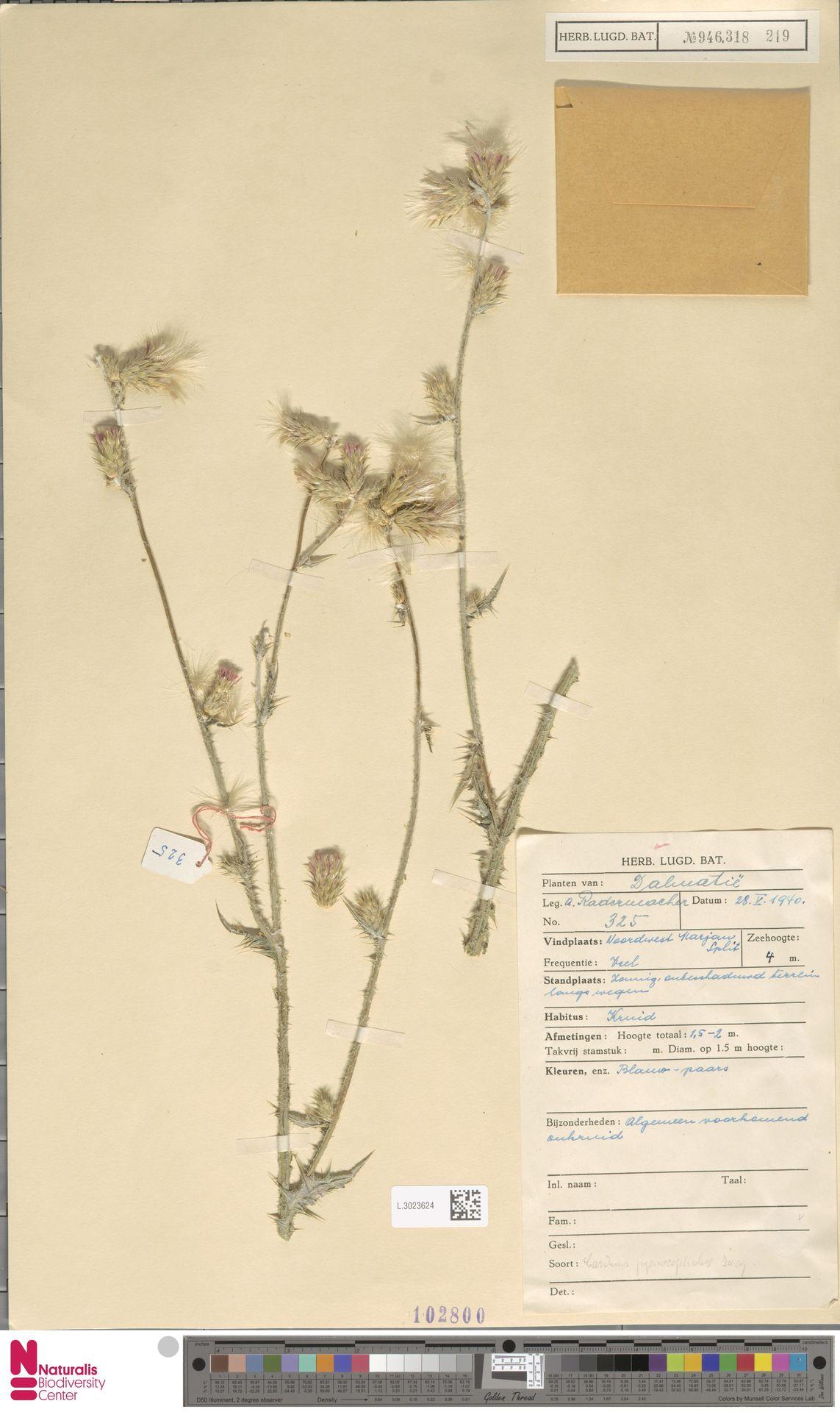 L.3023624 | Carduus pycnocephalus L.