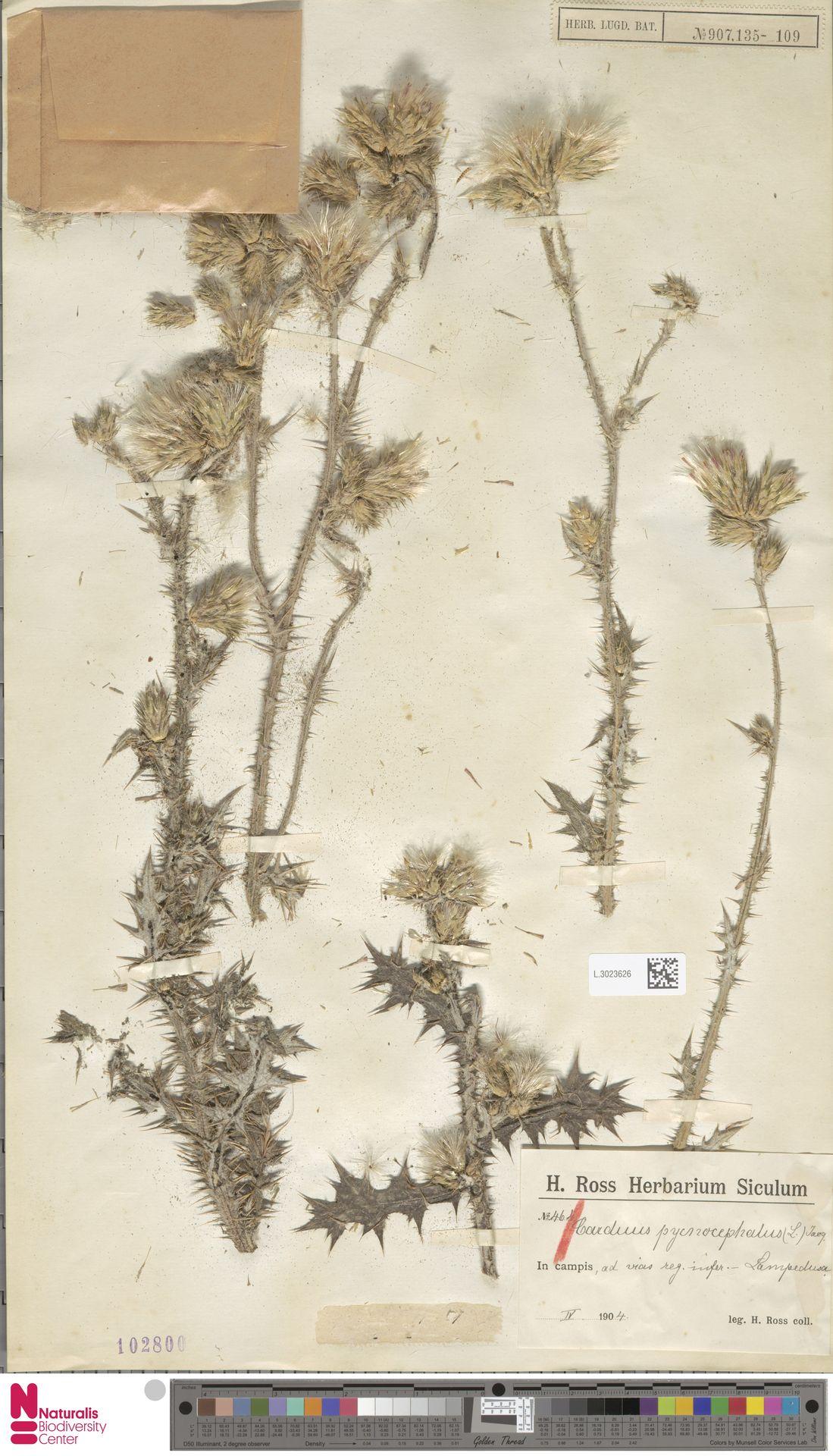 L.3023626 | Carduus pycnocephalus L.