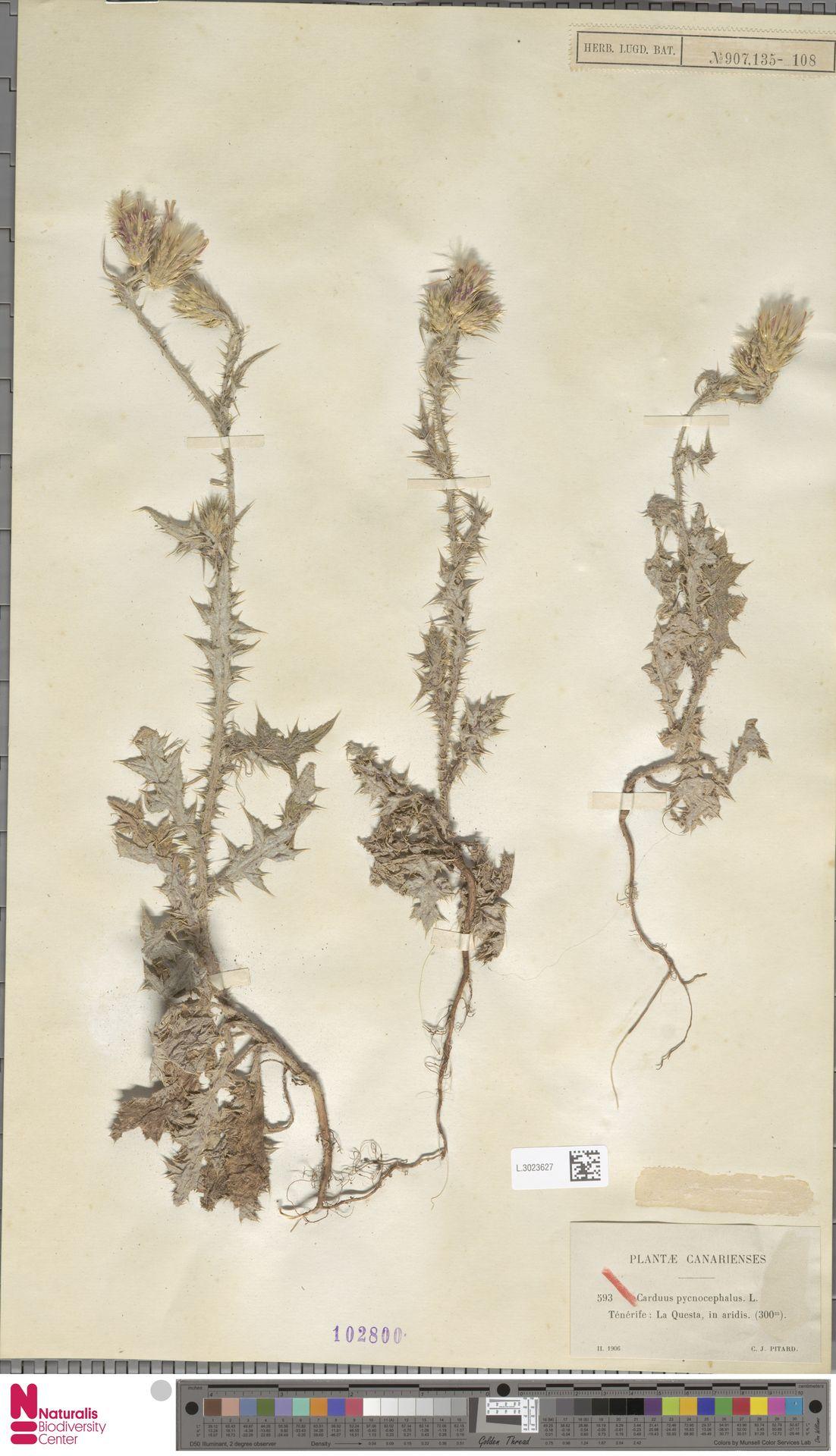 L.3023627 | Carduus pycnocephalus L.