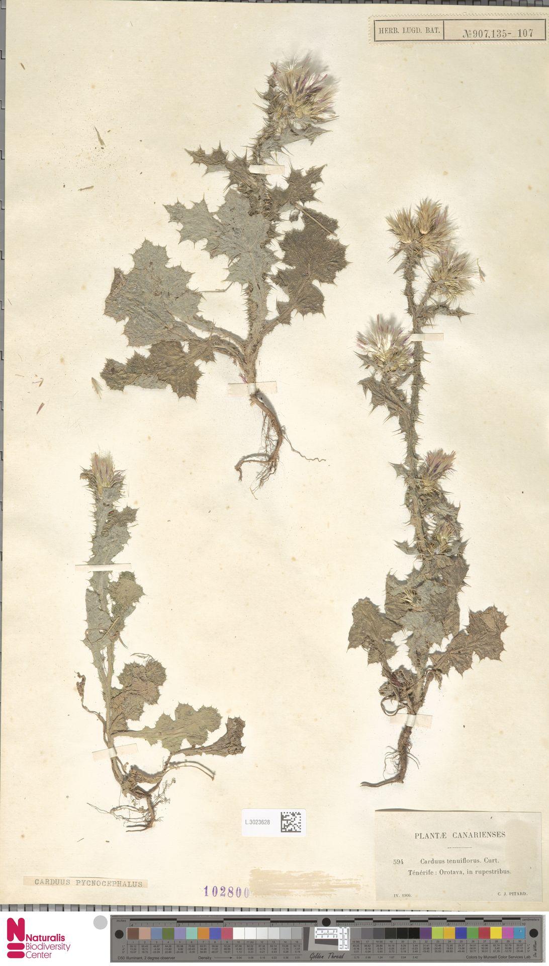 L.3023628 | Carduus pycnocephalus L.