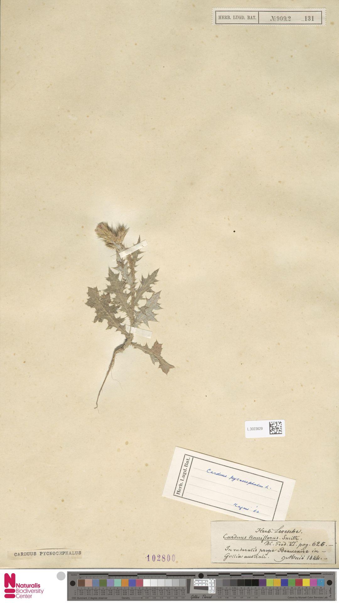 L.3023629 | Carduus pycnocephalus L.