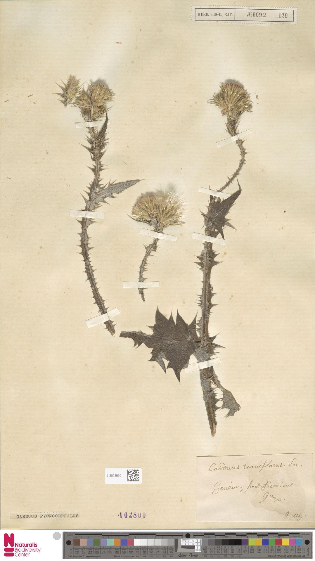L.3023630 | Carduus pycnocephalus L.