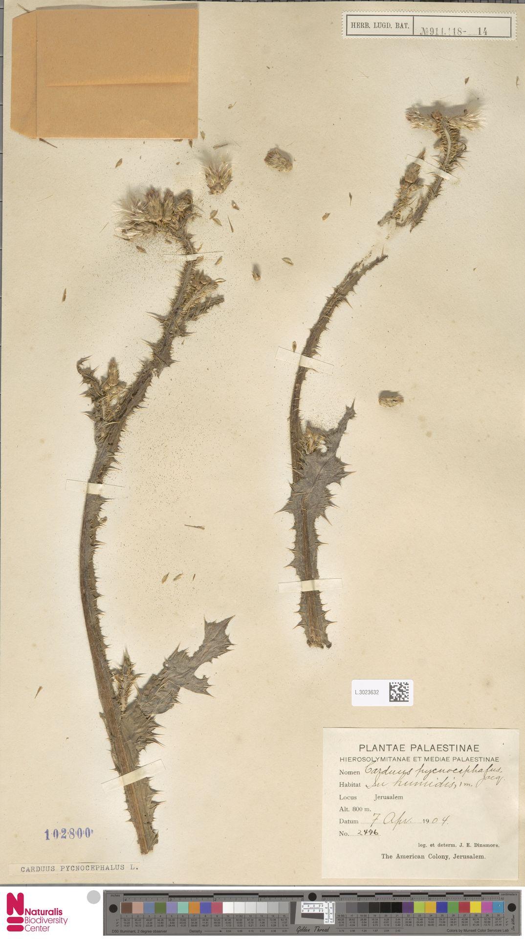 L.3023632 | Carduus pycnocephalus L.