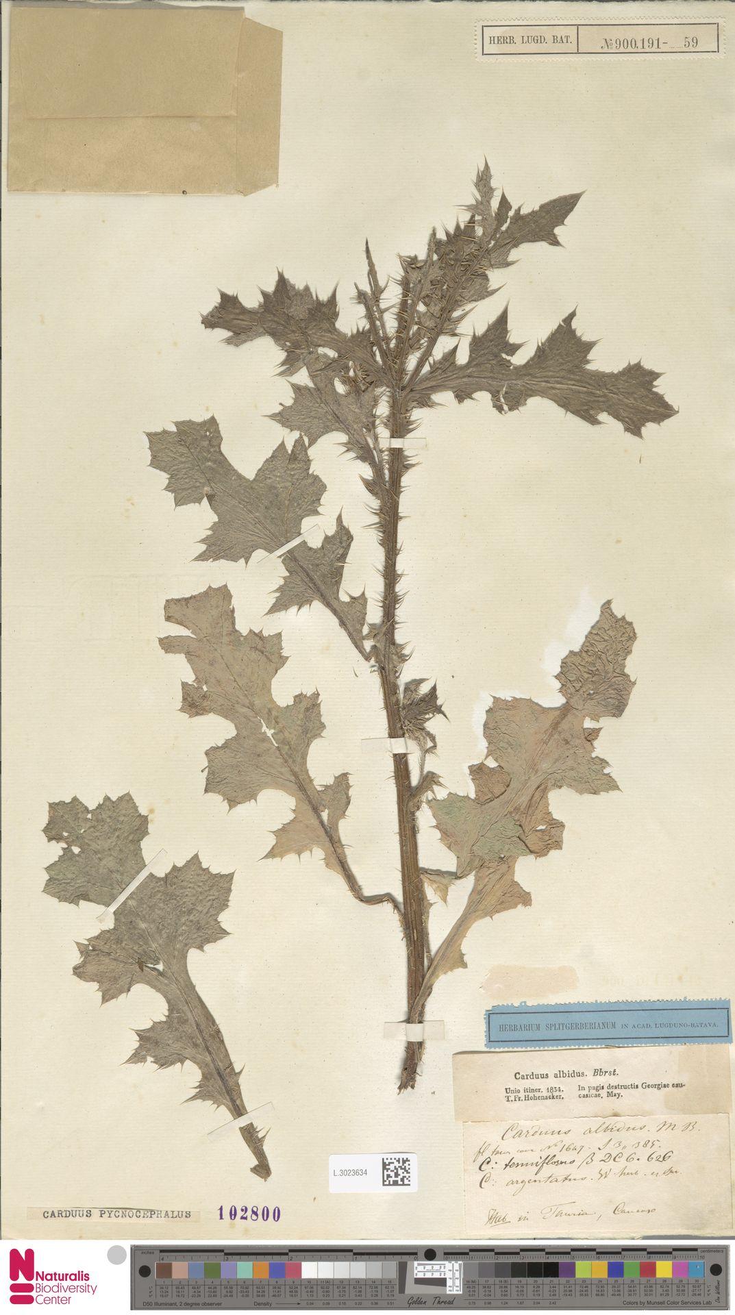 L.3023634 | Carduus pycnocephalus L.