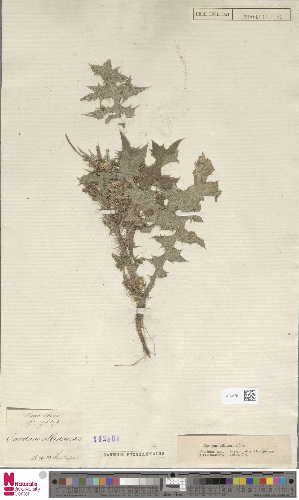 L.3023635 | Carduus pycnocephalus L.