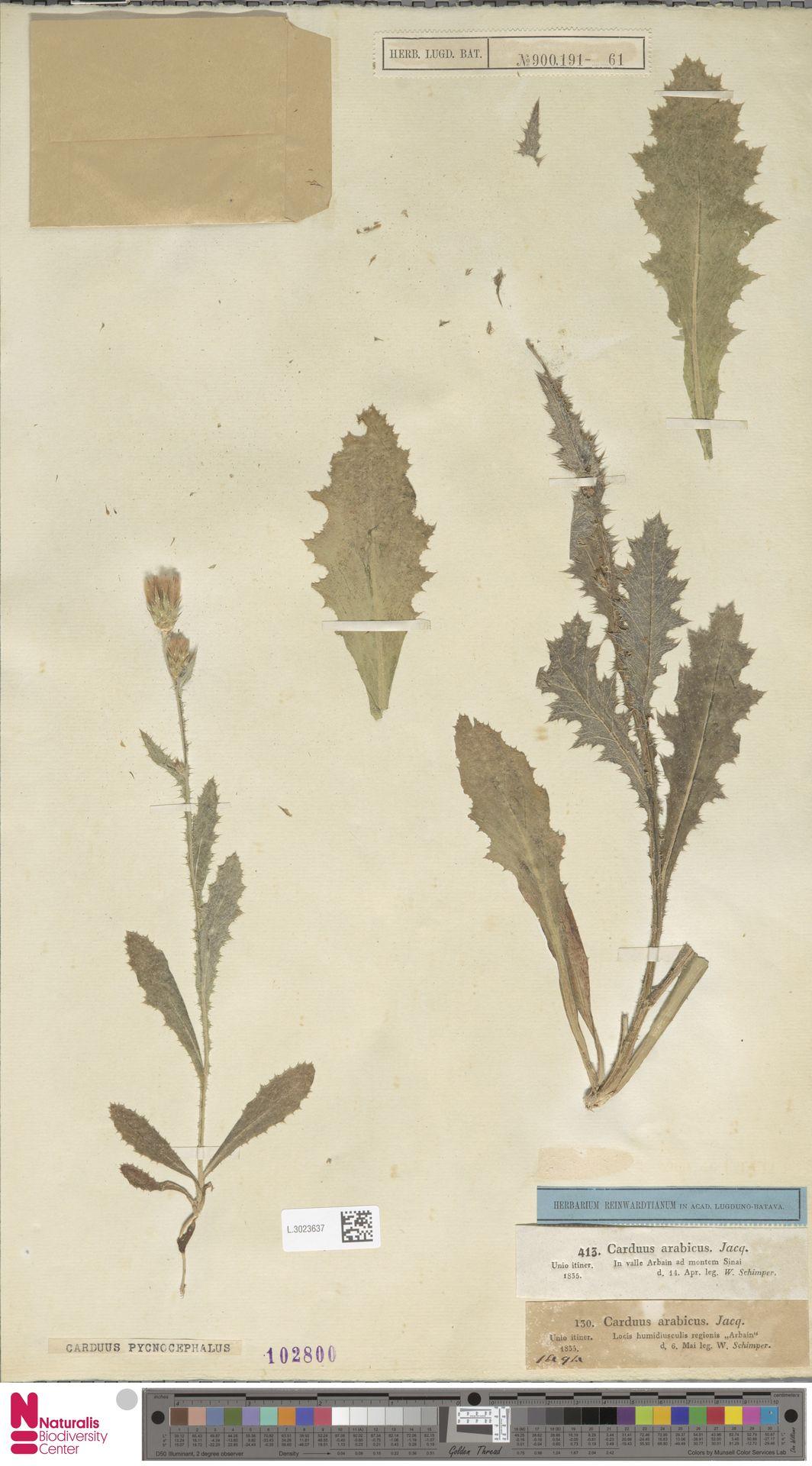 L.3023637 | Carduus pycnocephalus L.