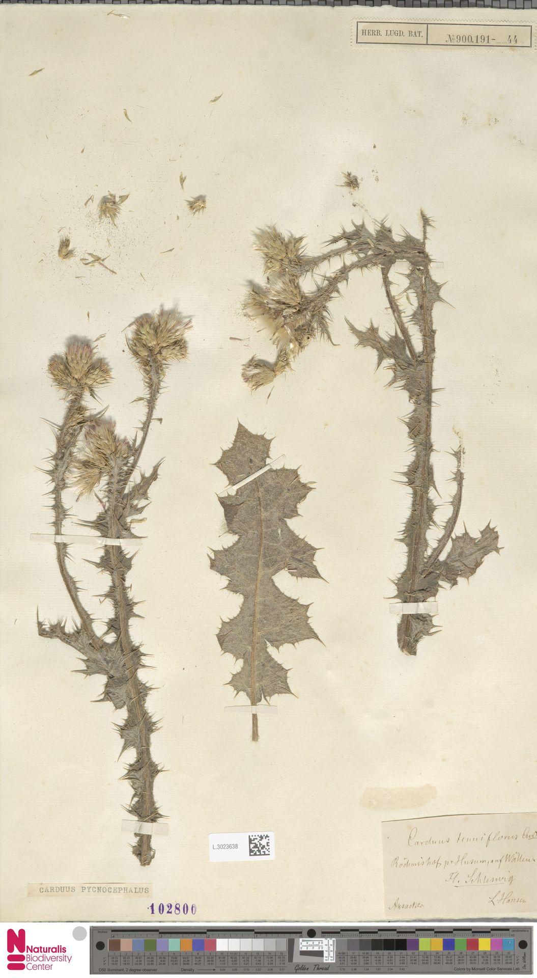 L.3023638 | Carduus pycnocephalus L.