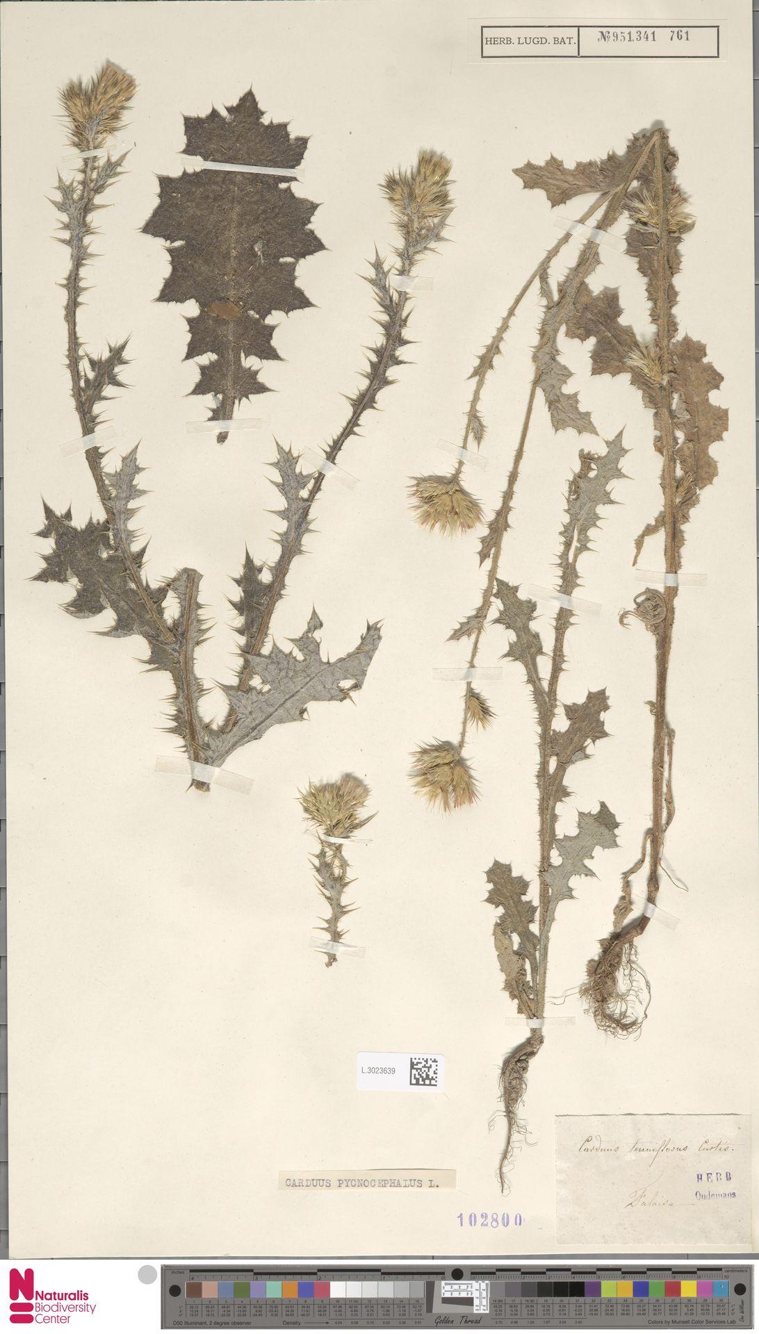L.3023639 | Carduus pycnocephalus L.