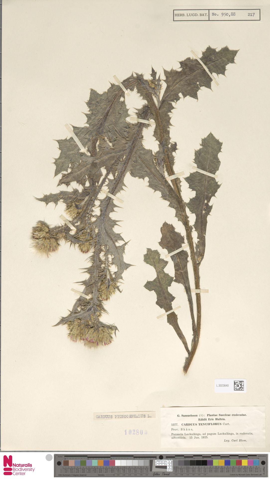 L.3023640 | Carduus pycnocephalus L.