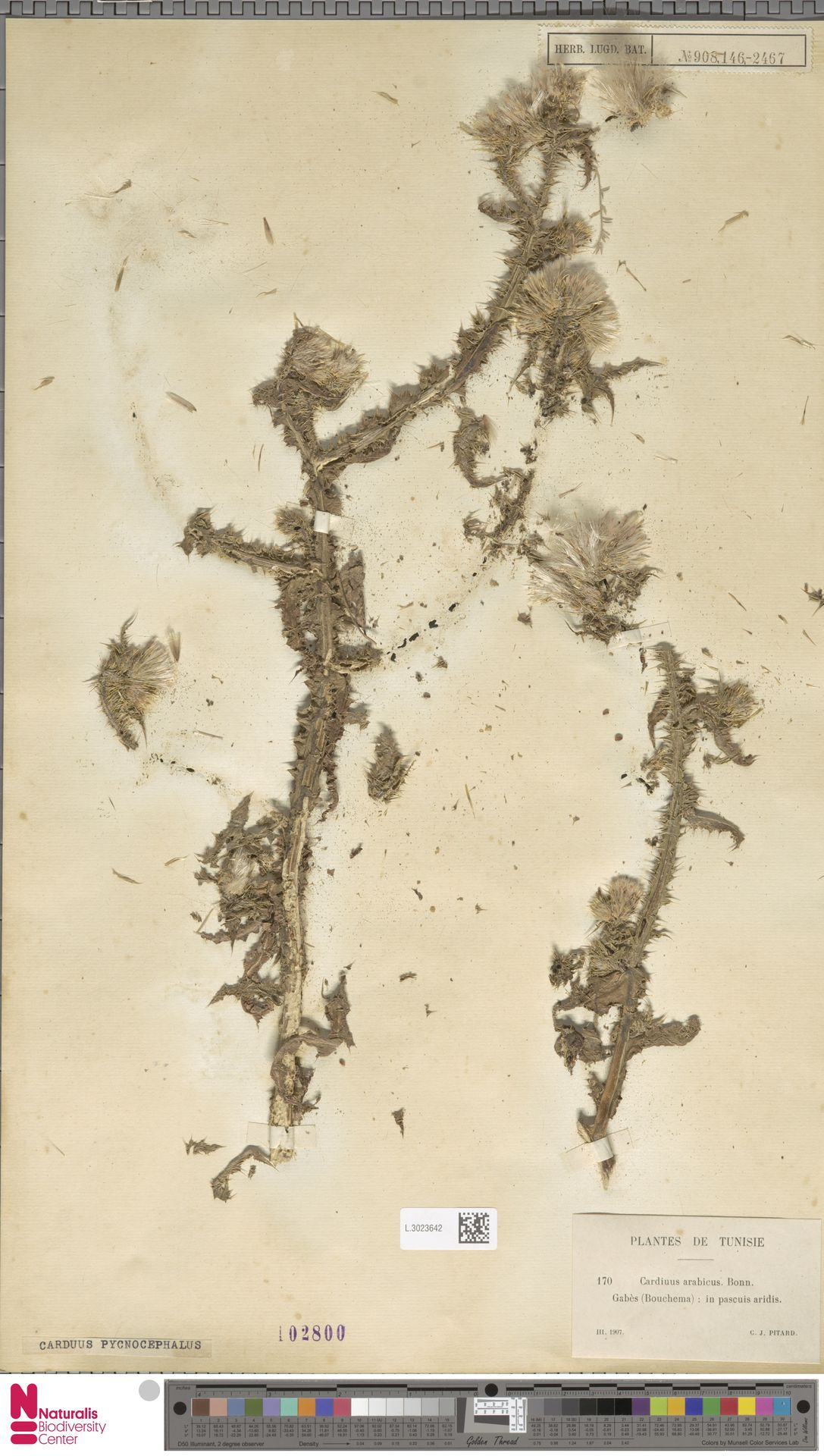 L.3023642 | Carduus pycnocephalus L.