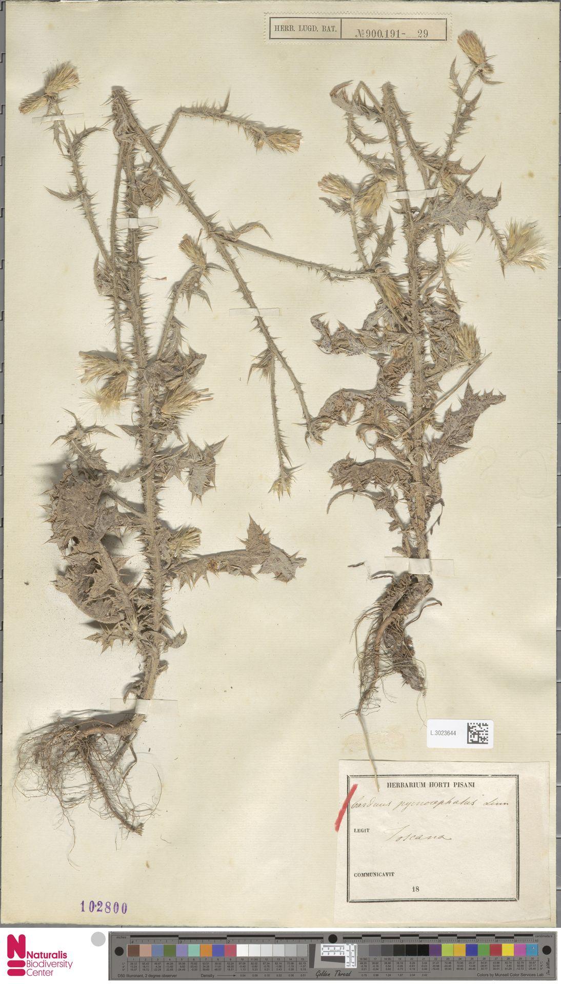 L.3023644   Carduus pycnocephalus L.