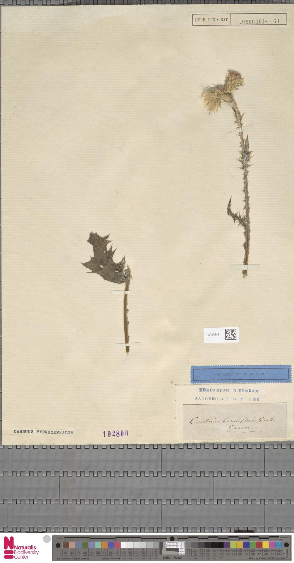 L.3023648 | Carduus pycnocephalus L.