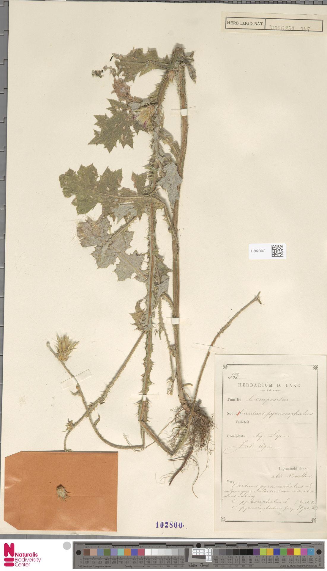 L.3023649   Carduus pycnocephalus L.