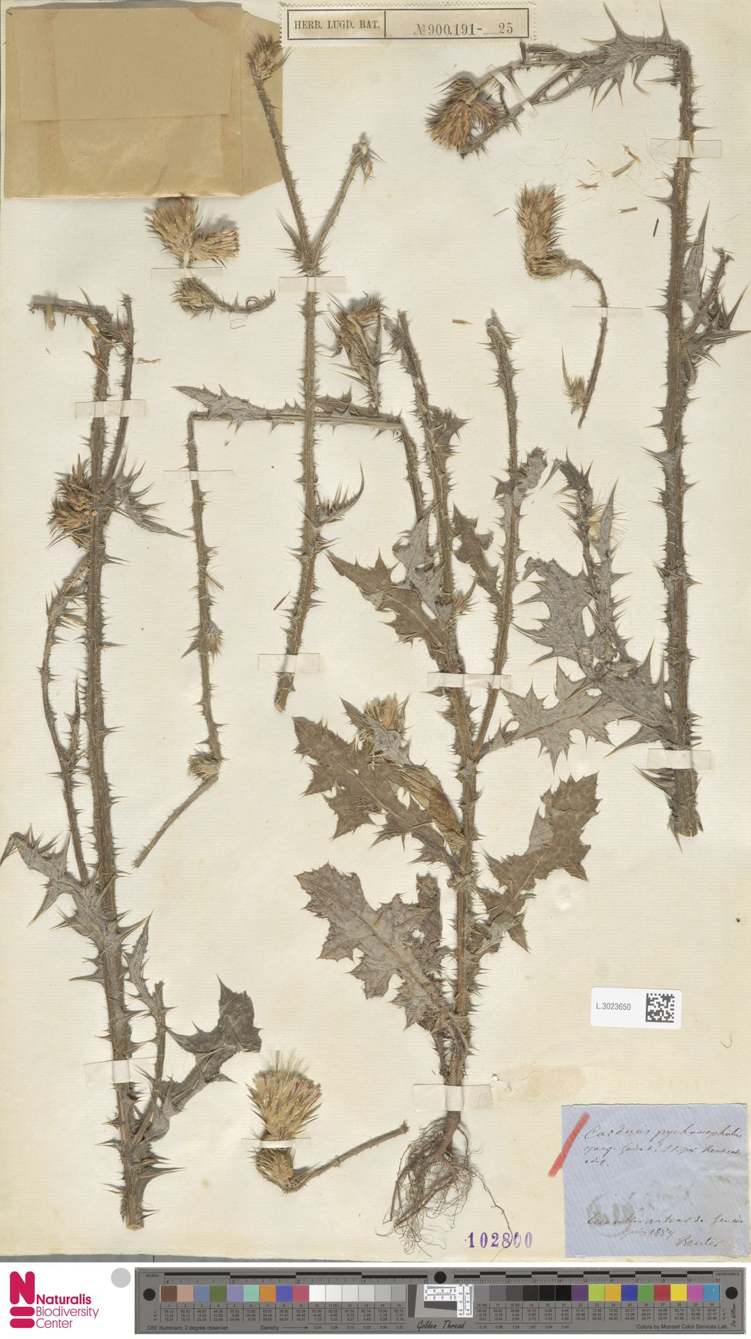 L.3023650 | Carduus pycnocephalus L.