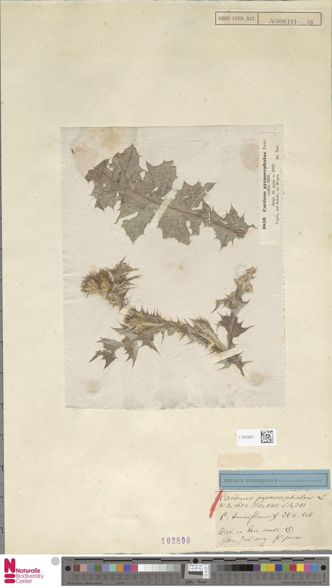 L.3023651 | Carduus pycnocephalus L.