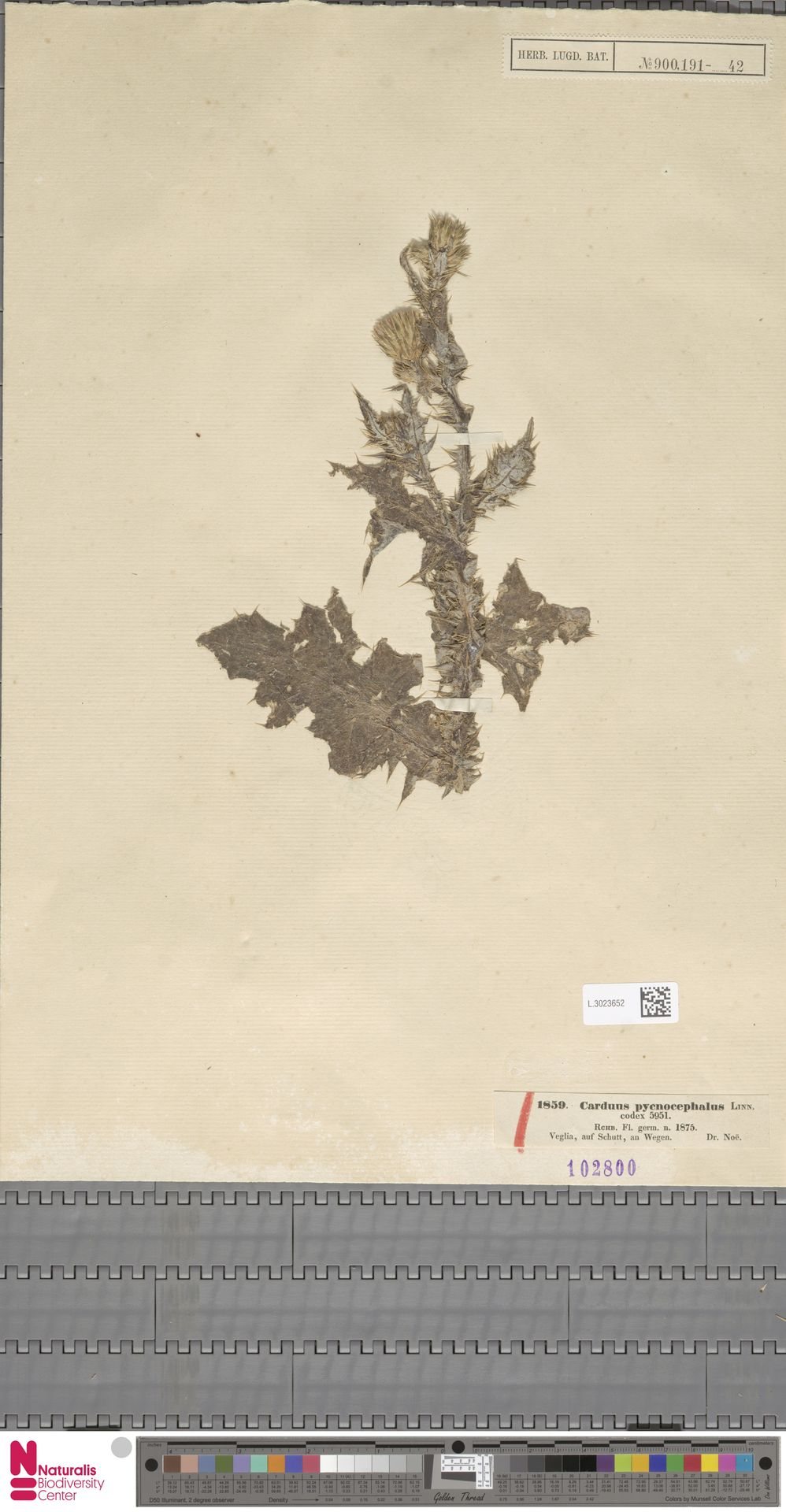 L.3023652   Carduus pycnocephalus L.