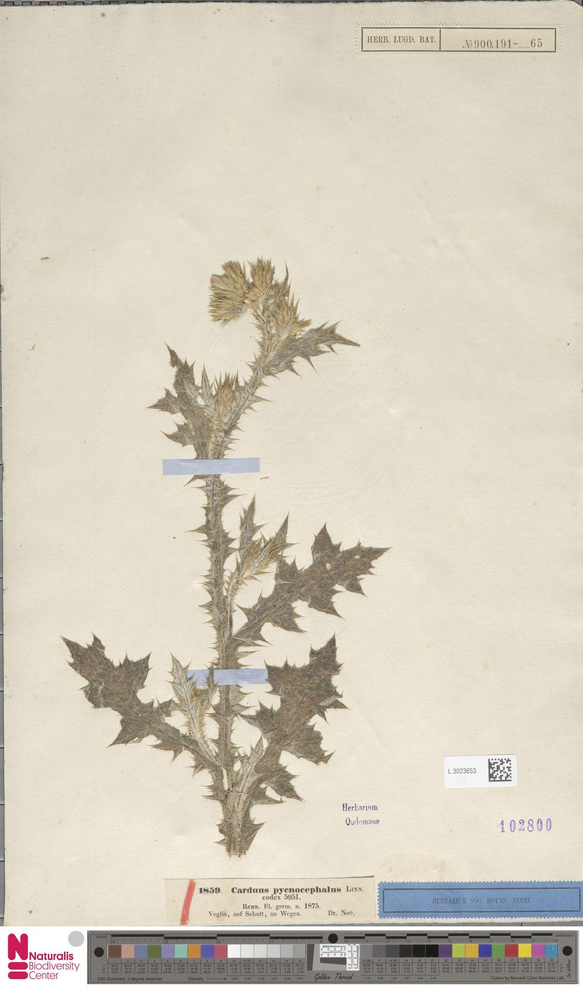 L.3023653 | Carduus pycnocephalus L.