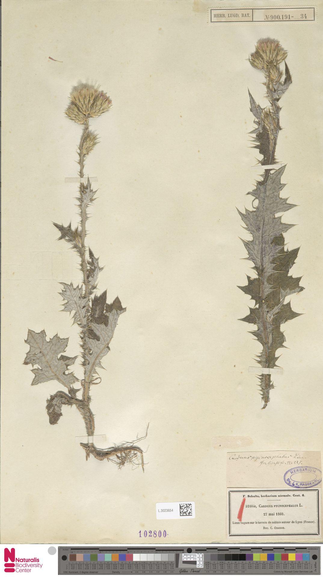 L.3023654 | Carduus pycnocephalus L.