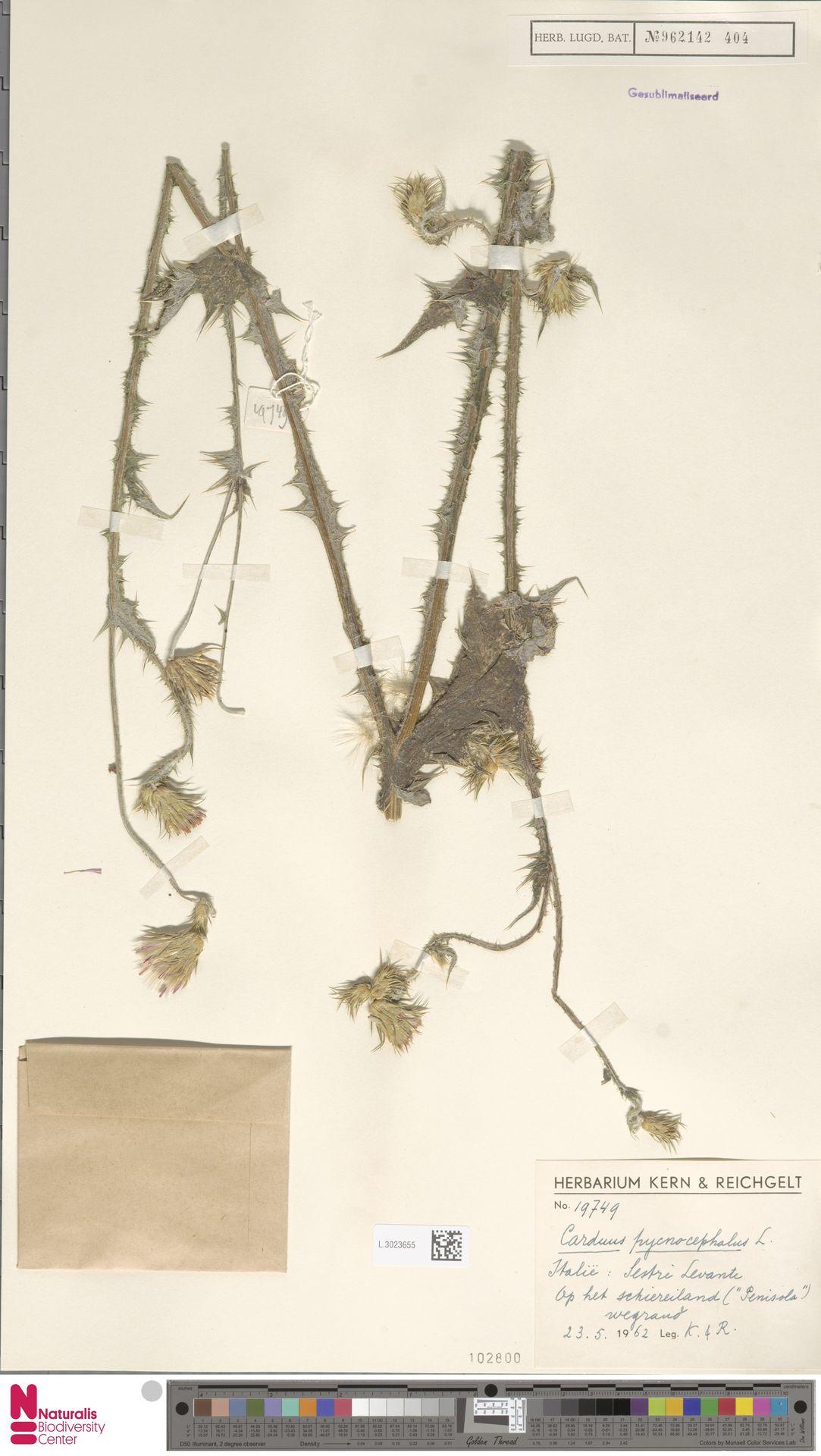 L.3023655 | Carduus pycnocephalus L.