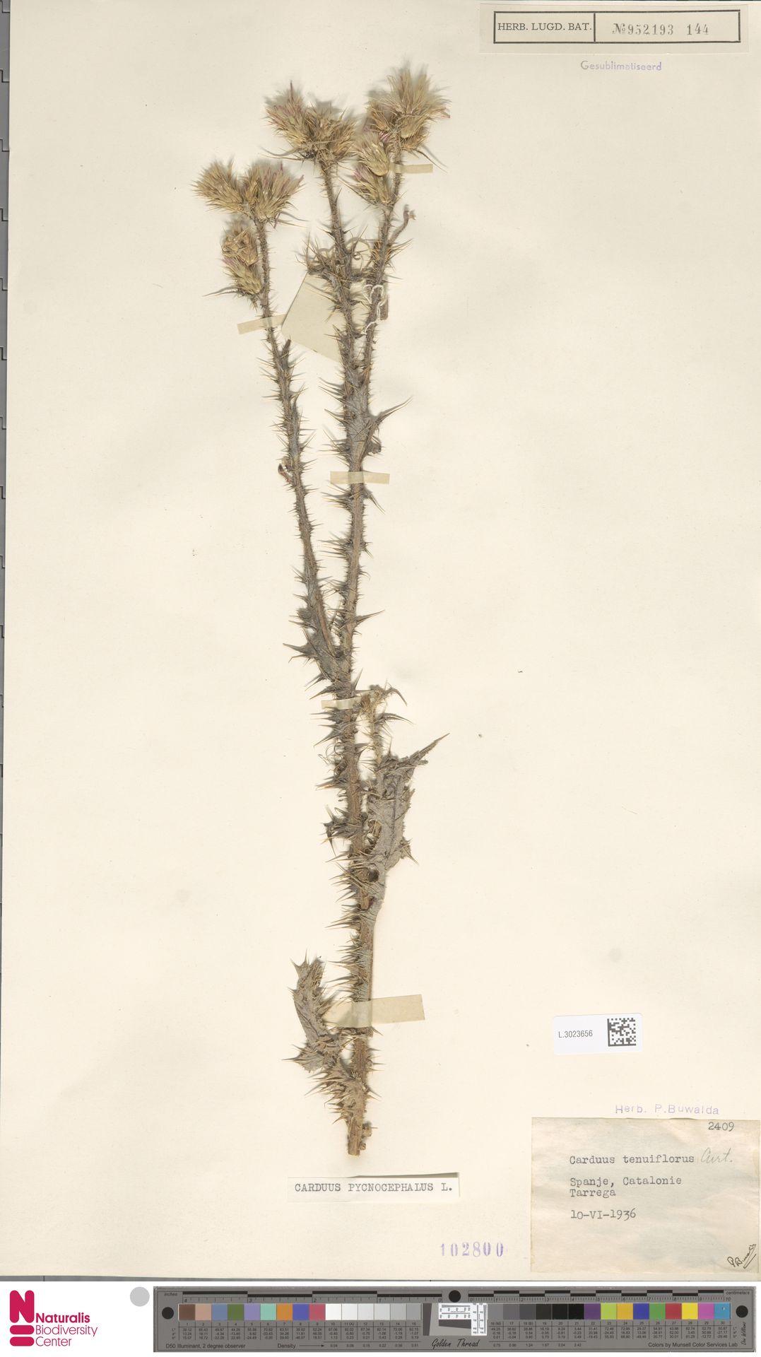 L.3023656 | Carduus pycnocephalus L.