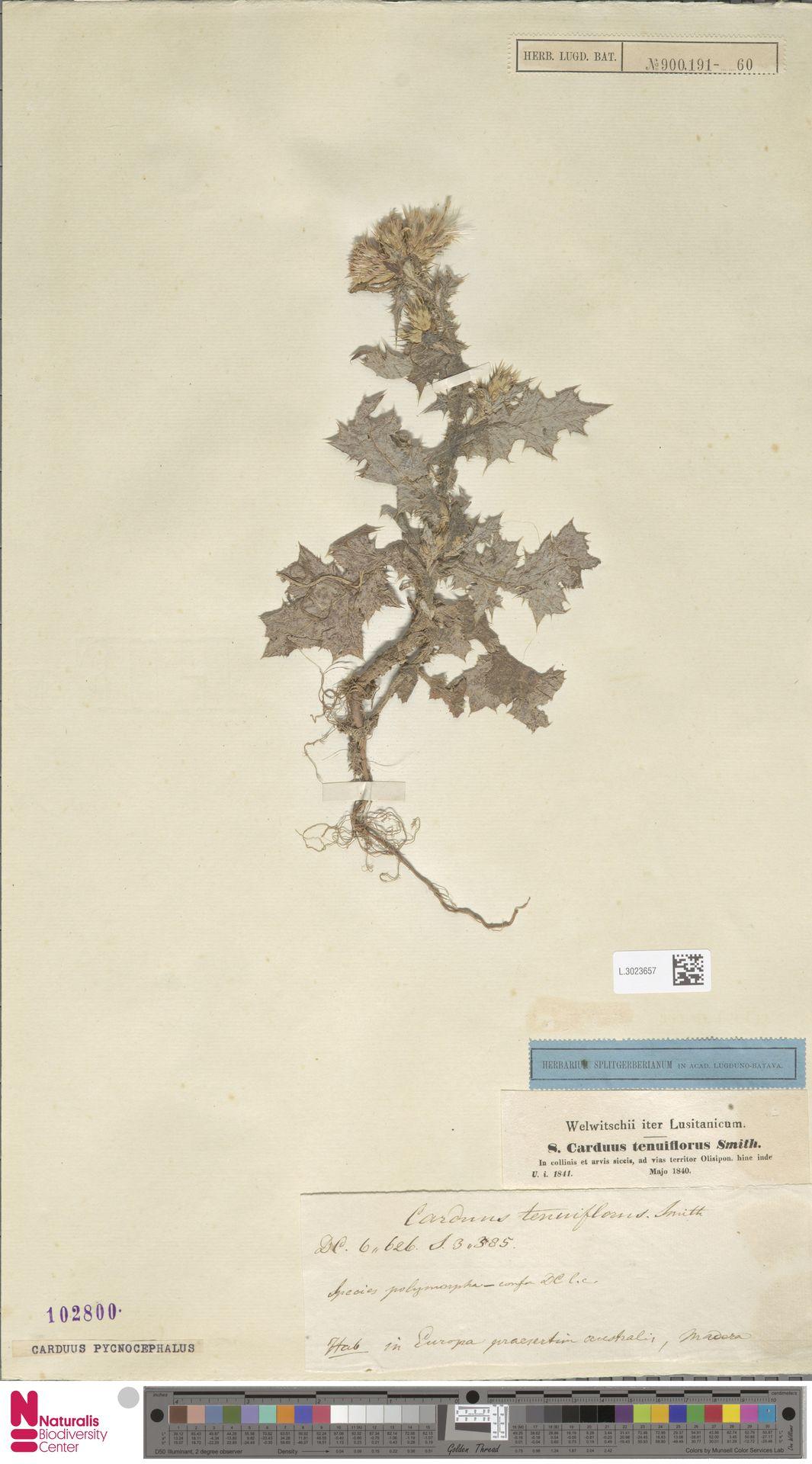L.3023657 | Carduus pycnocephalus L.