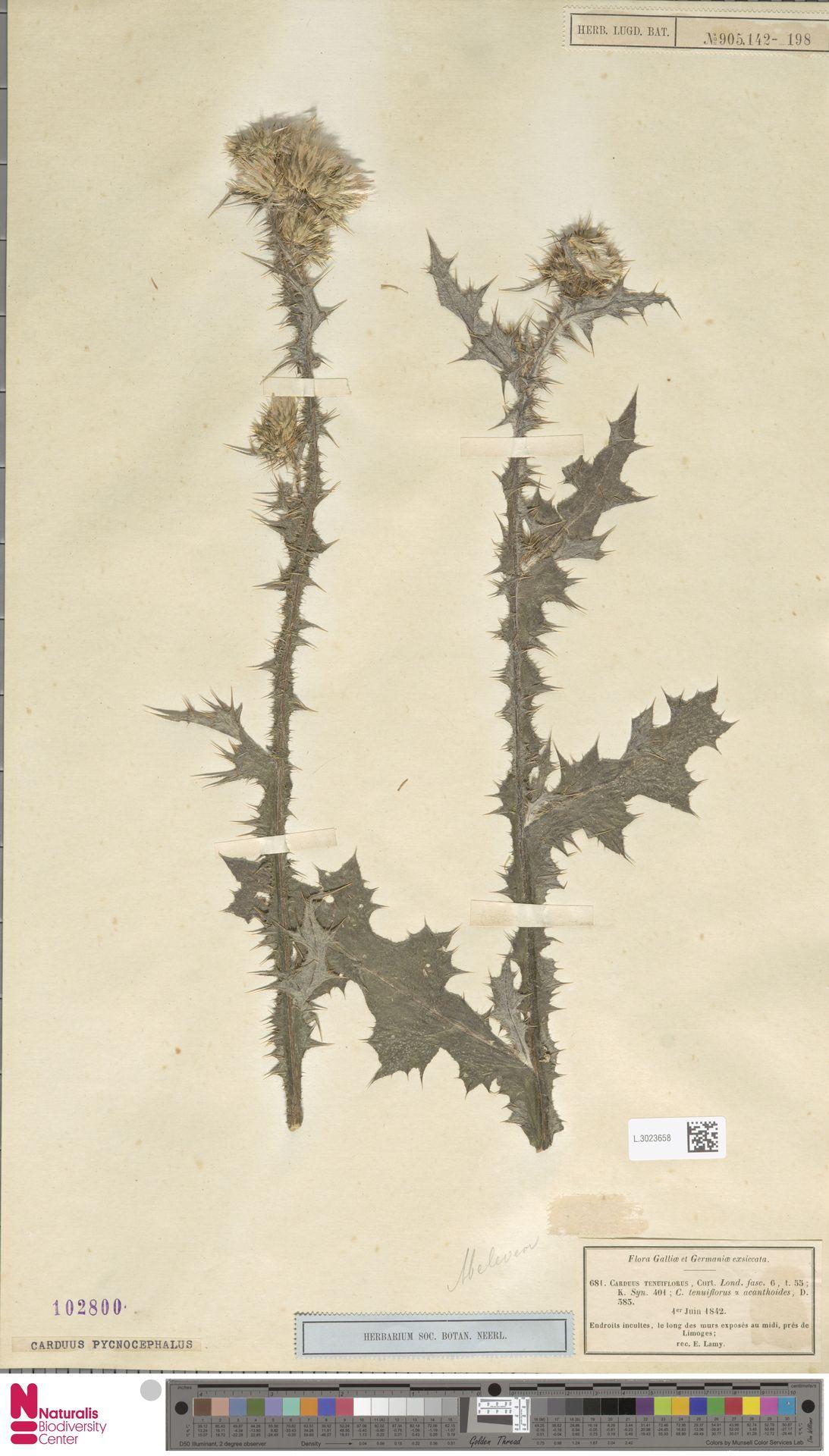L.3023658   Carduus pycnocephalus L.