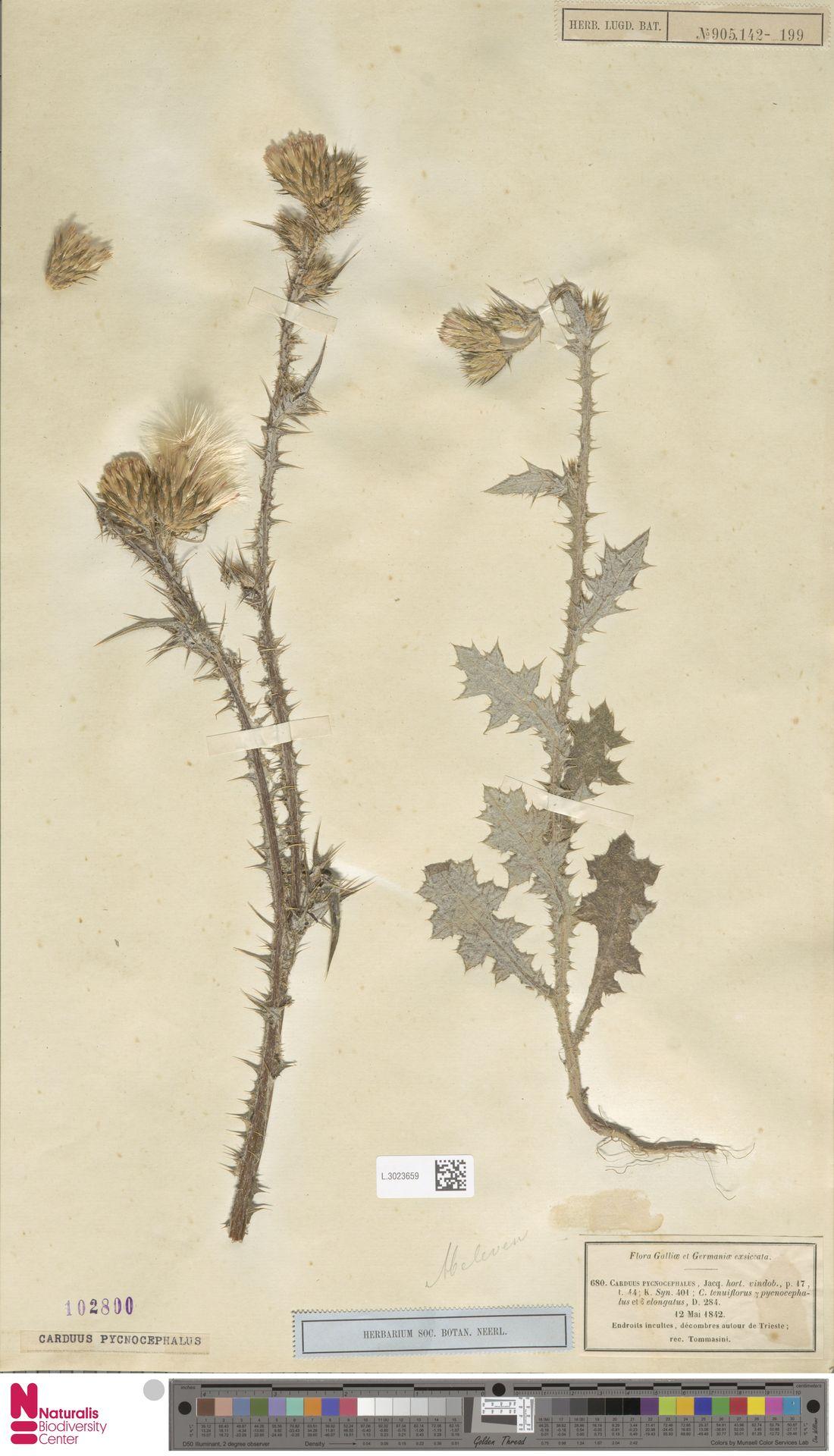 L.3023659 | Carduus pycnocephalus L.