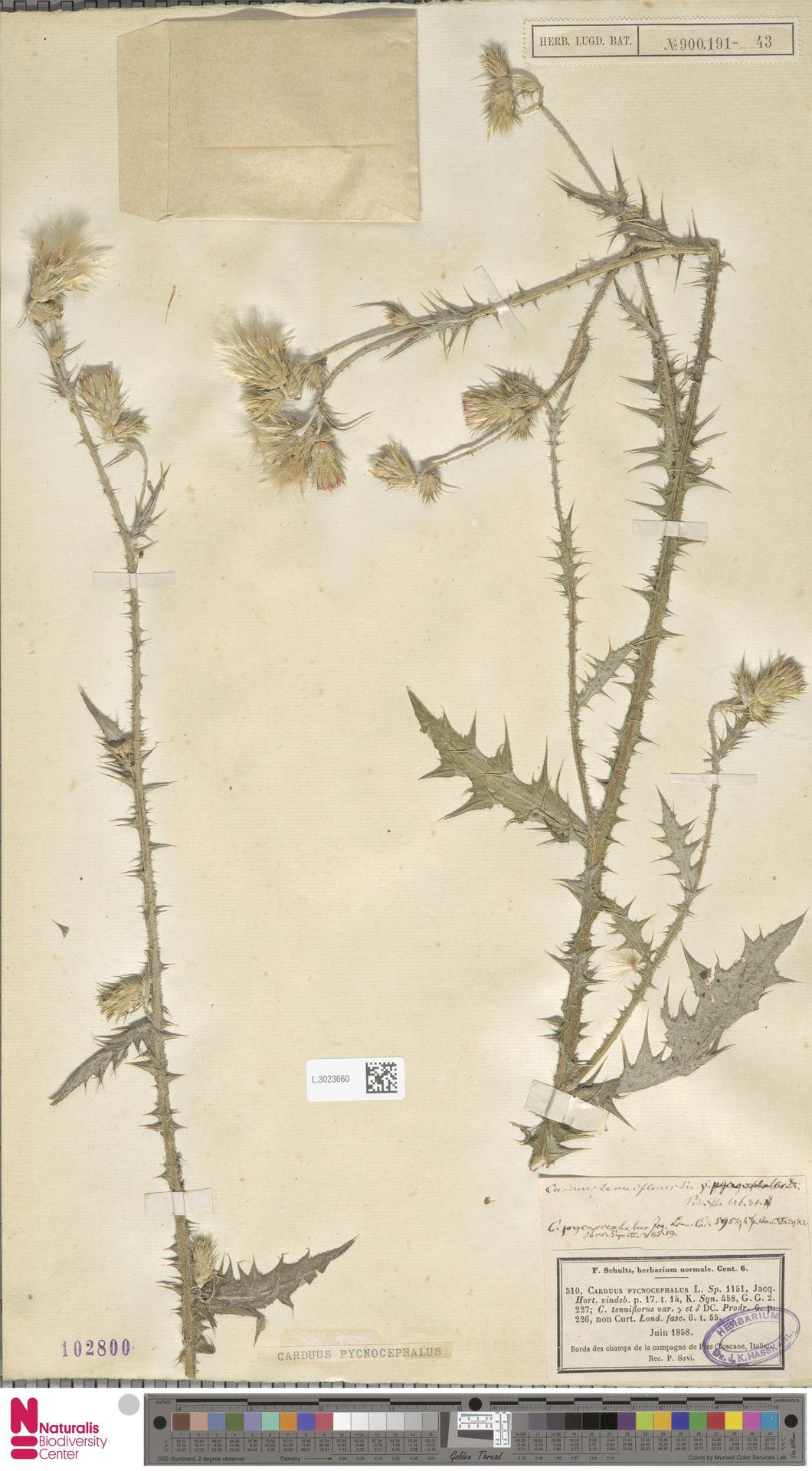 L.3023660 | Carduus pycnocephalus L.