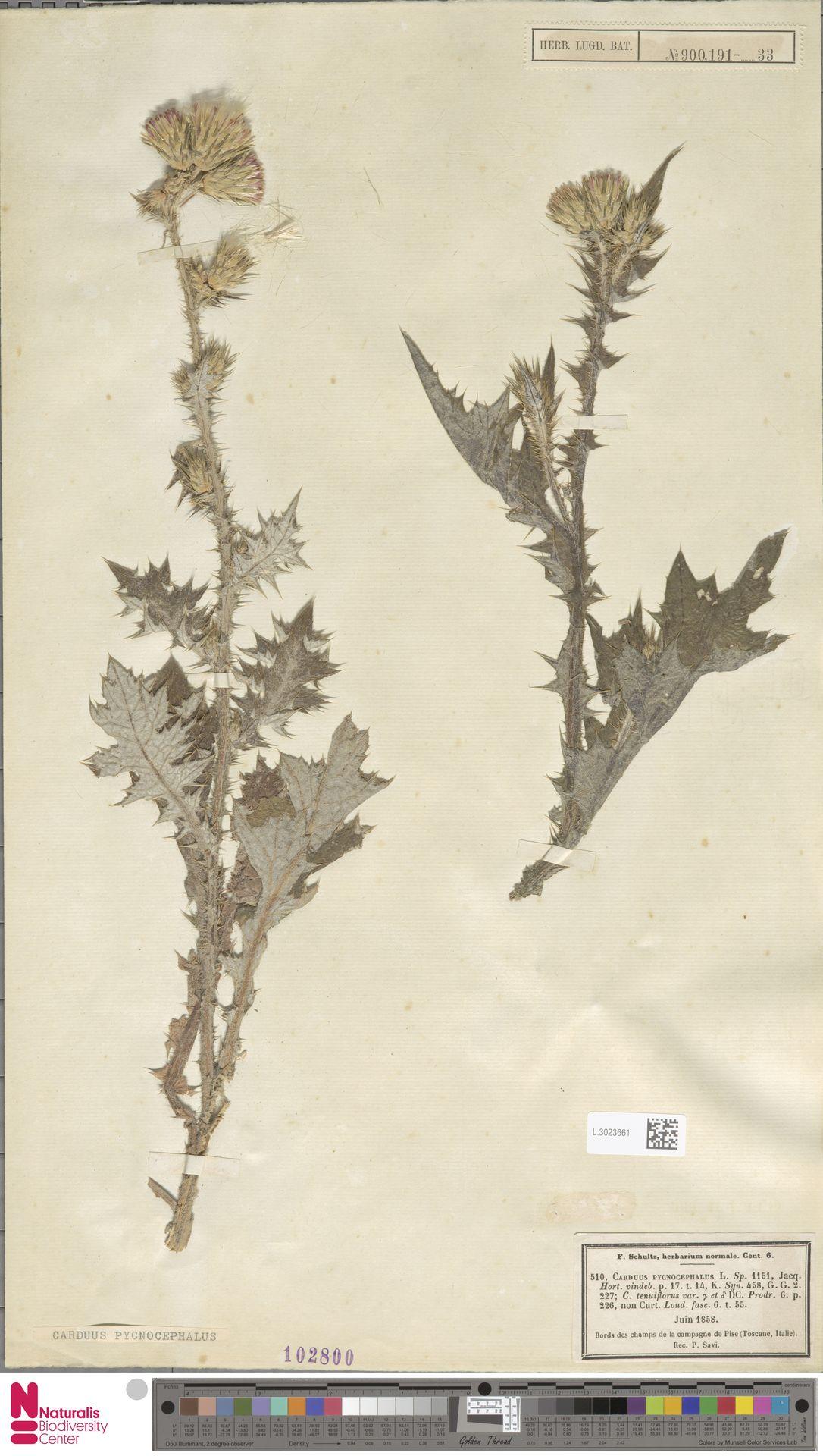 L.3023661 | Carduus pycnocephalus L.