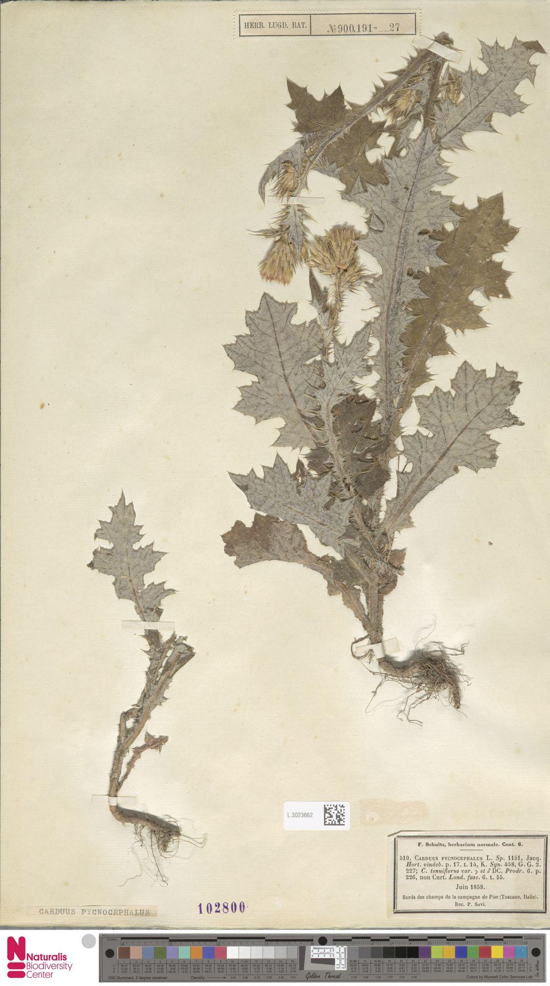 L.3023662 | Carduus pycnocephalus L.