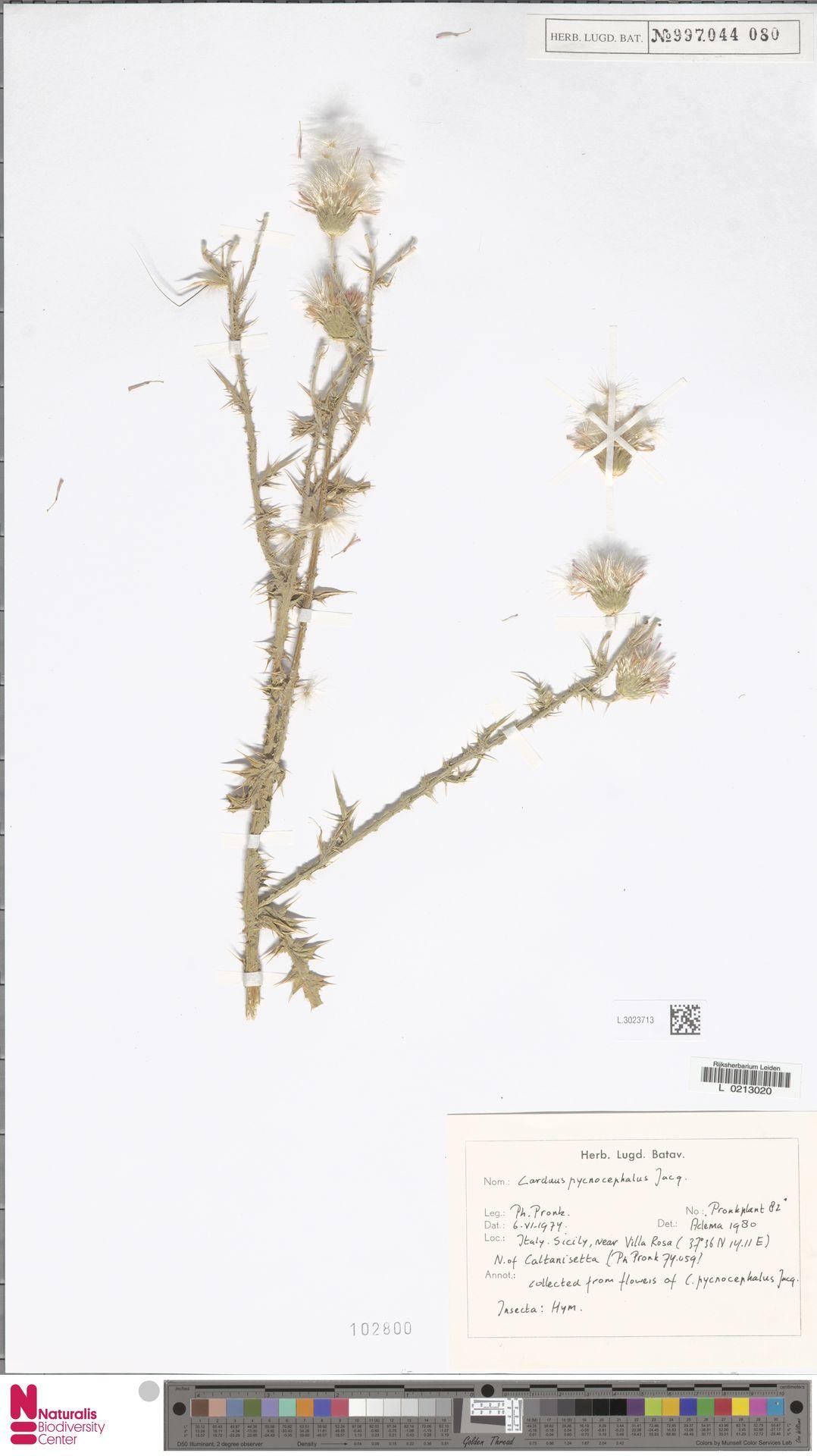 L.3023713 | Carduus pycnocephalus L.