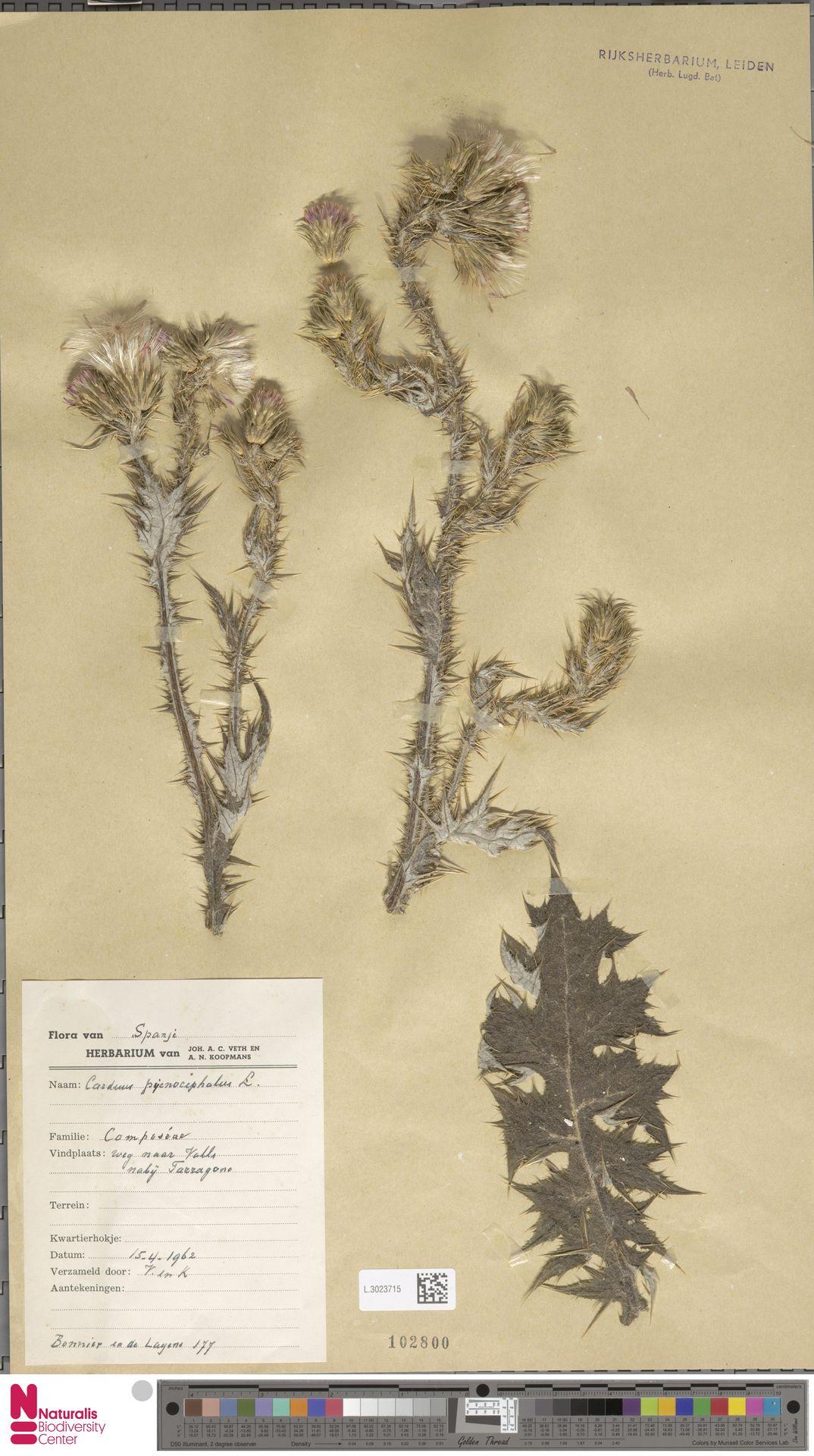 L.3023715 | Carduus pycnocephalus L.